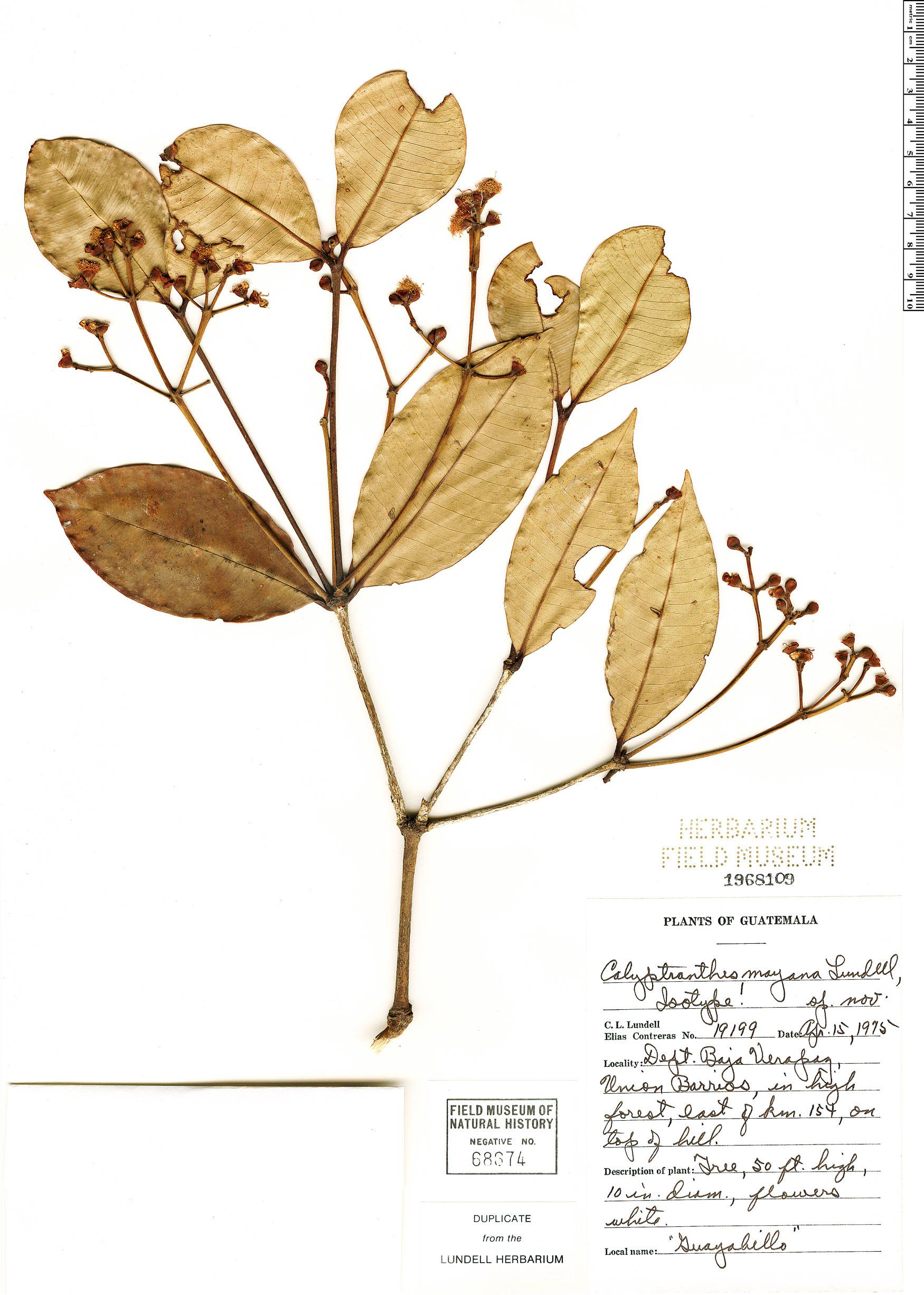 Specimen: Calyptranthes mayana