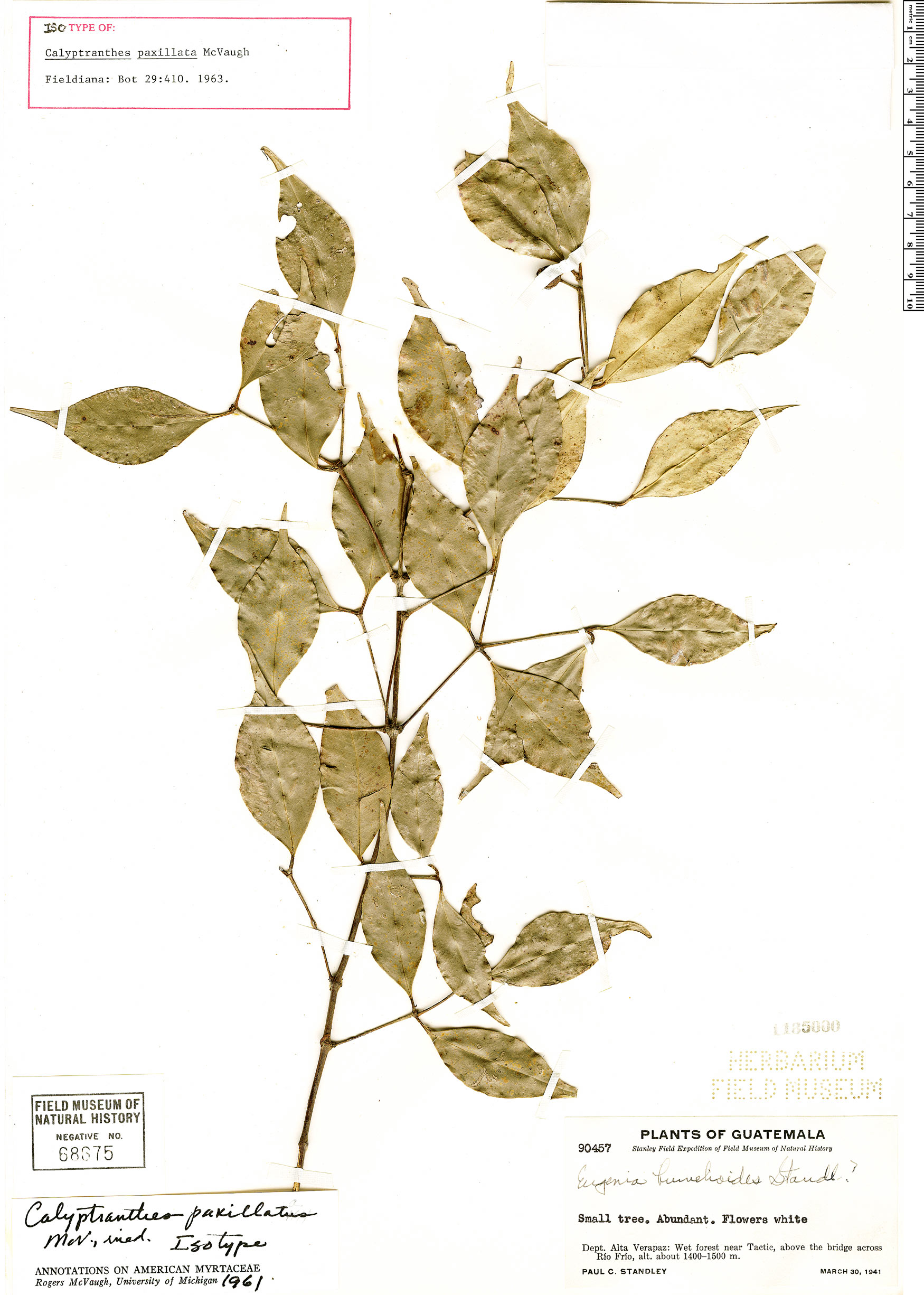 Specimen: Calyptranthes paxillata