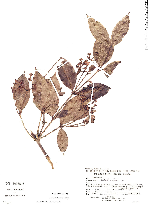 Specimen: Calyptranthes pittieri