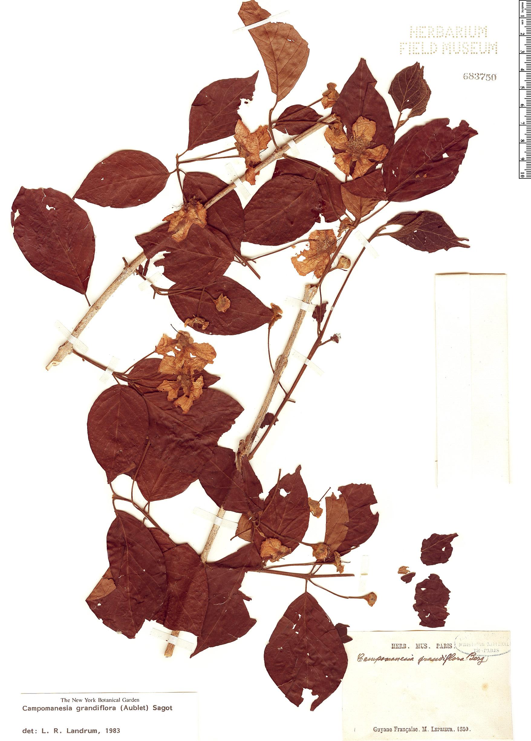 Specimen: Campomanesia grandiflora