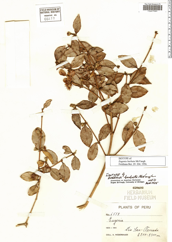 Specimen: Eugenia barbata