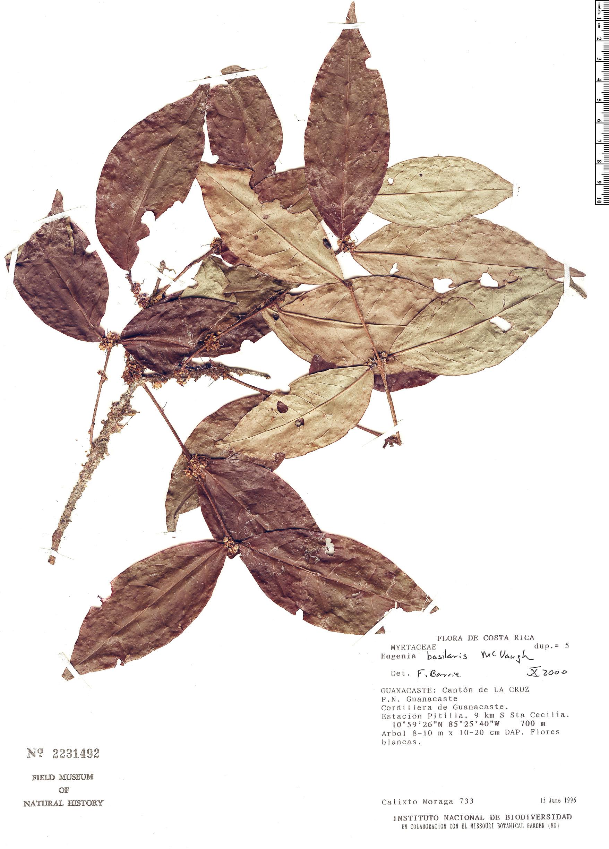 Specimen: Eugenia basilaris
