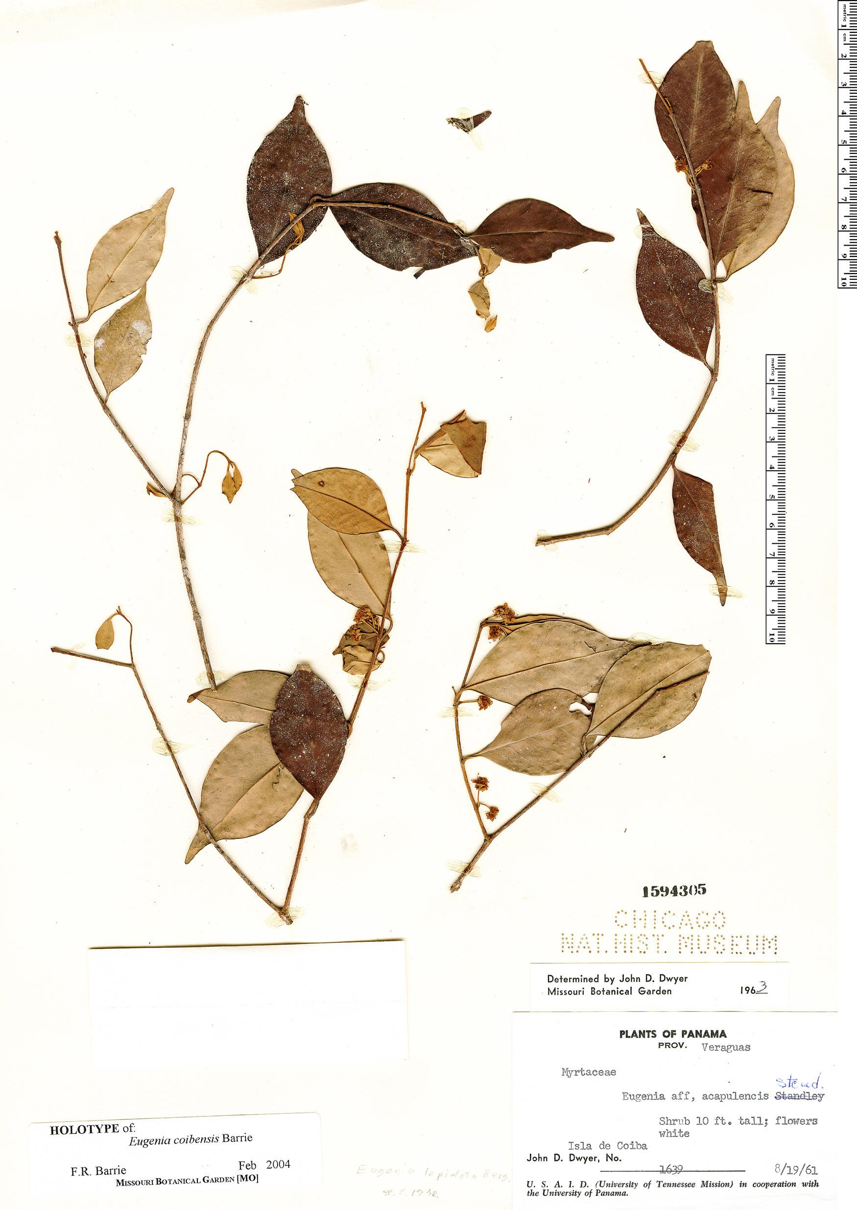 Specimen: Eugenia coibensis