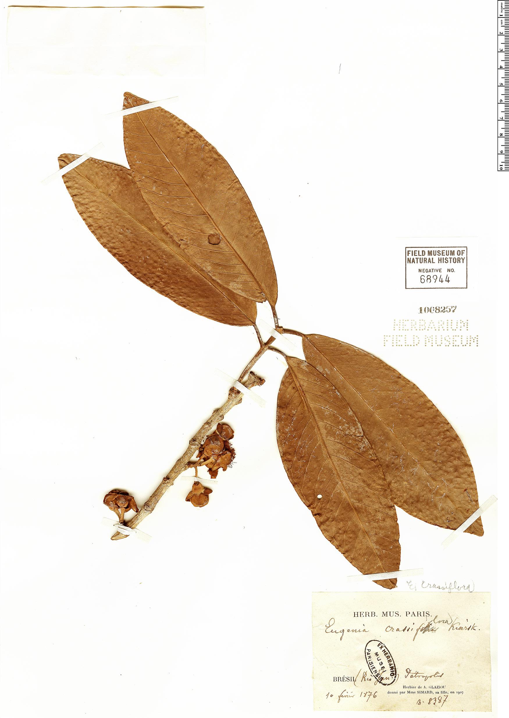 Specimen: Eugenia crassiflora
