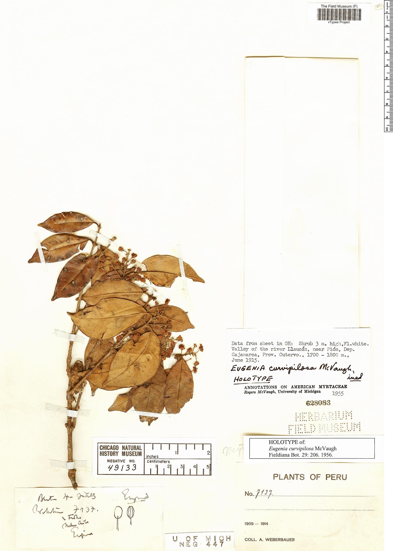 Espécimen: Eugenia curvipilosa