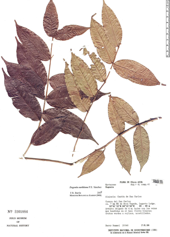 Specimen: Eugenia earthiana