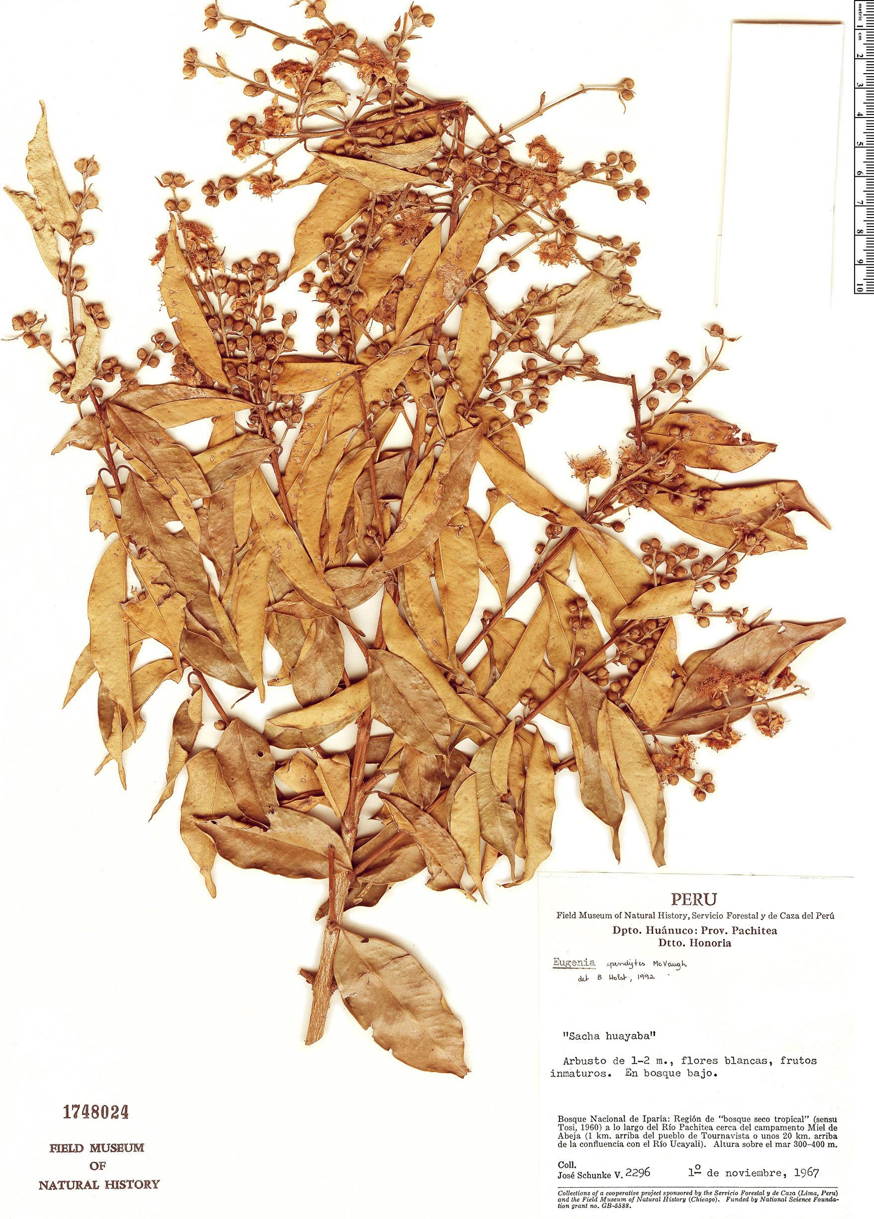 Specimen: Eugenia ependytes