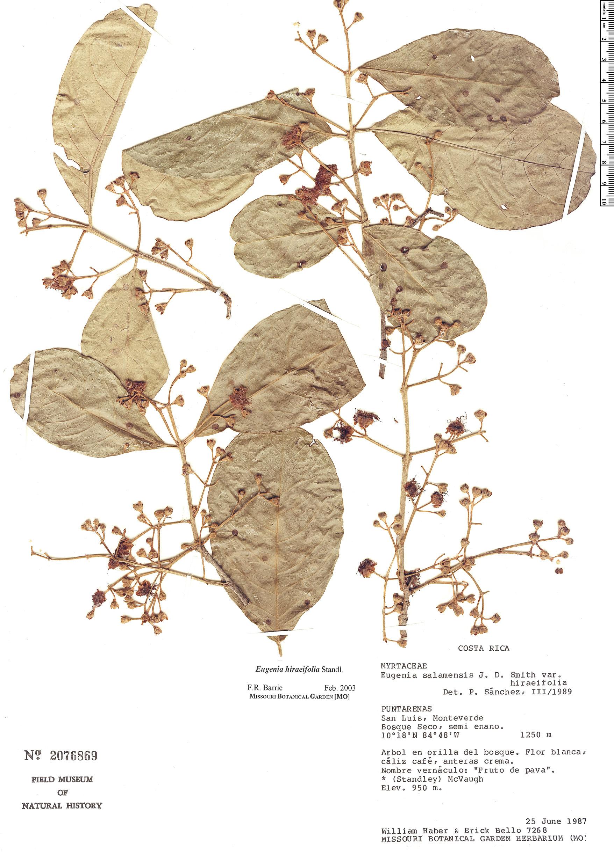 Specimen: Eugenia hiraeifolia