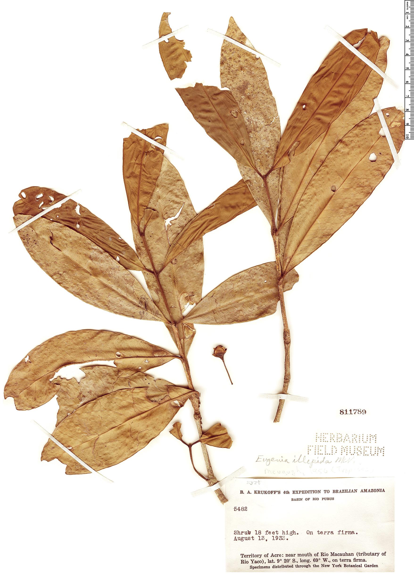 Specimen: Eugenia illepida