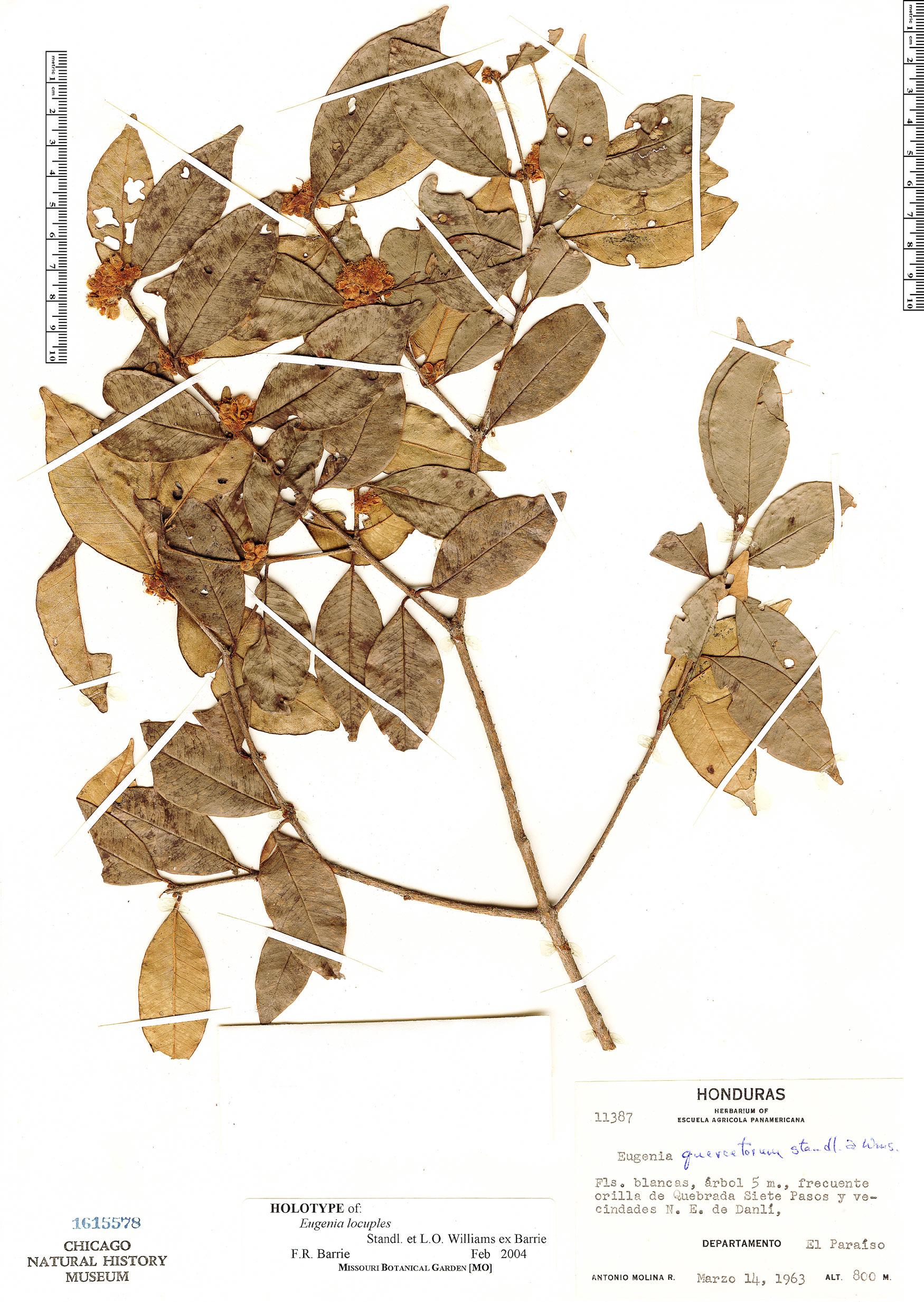 Specimen: Eugenia locuples