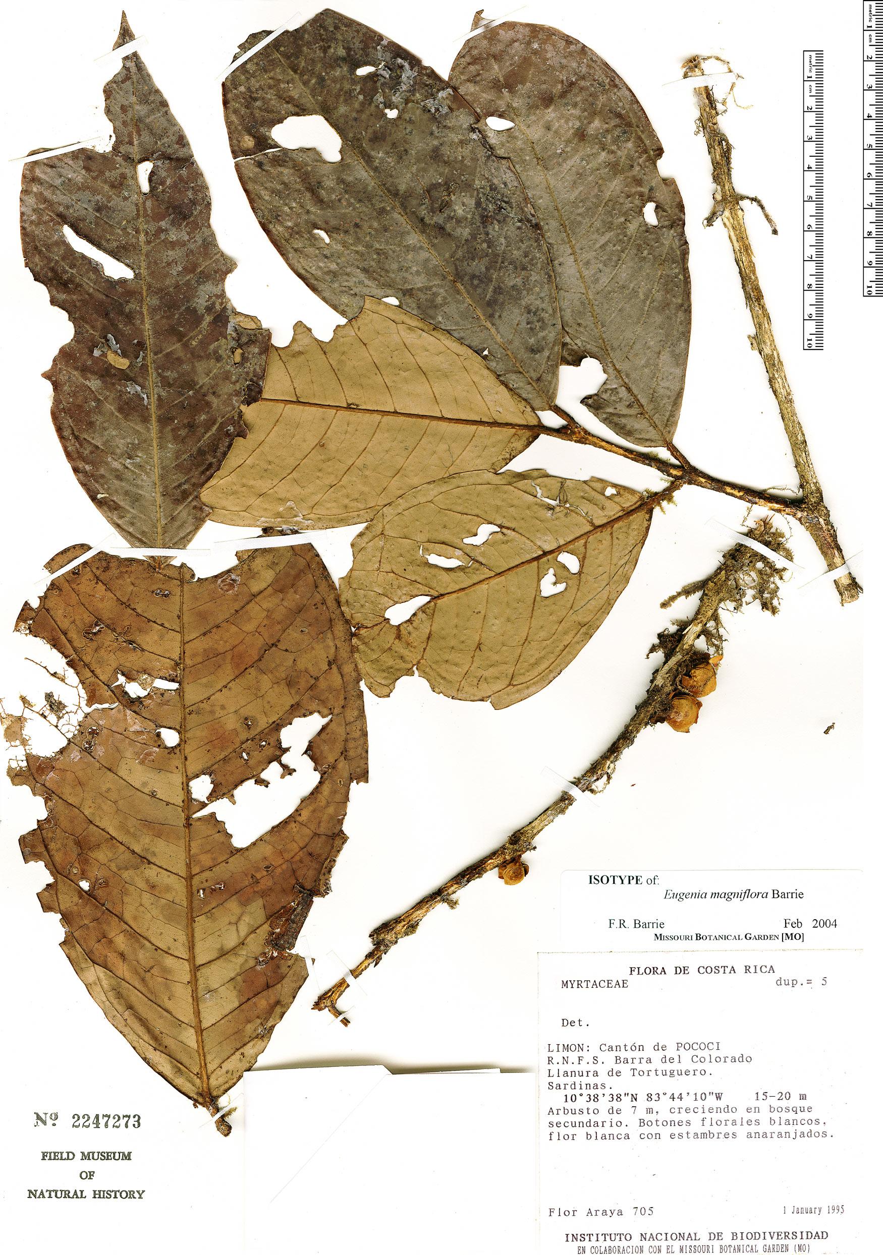 Specimen: Eugenia magniflora