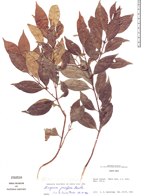 Specimen: Eugenia pacifica