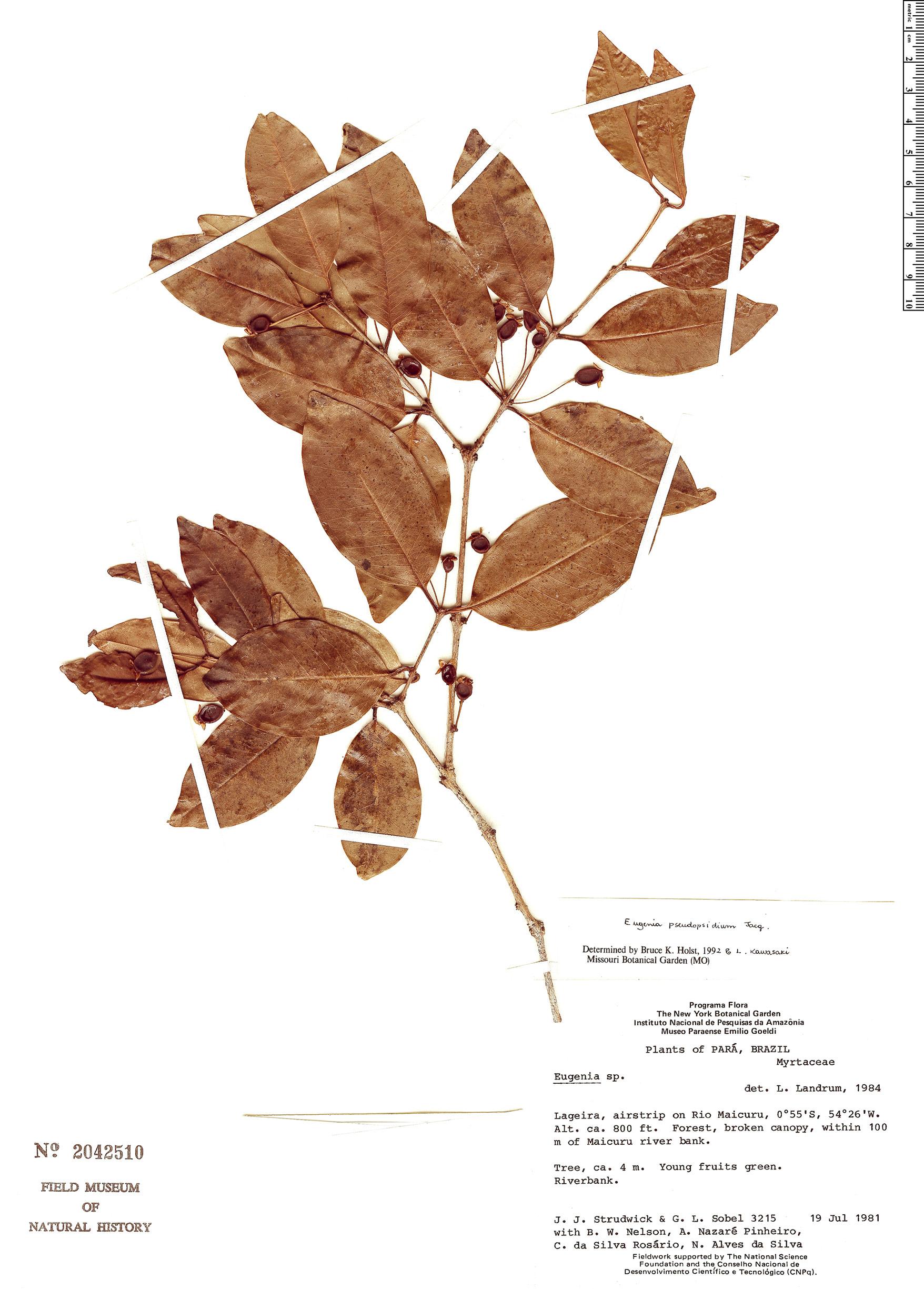 Specimen: Eugenia pseudopsidium