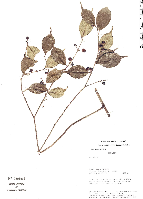 Specimen: Eugenia pusilliflora