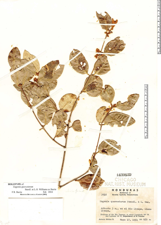 Specimen: Eugenia quercetorum