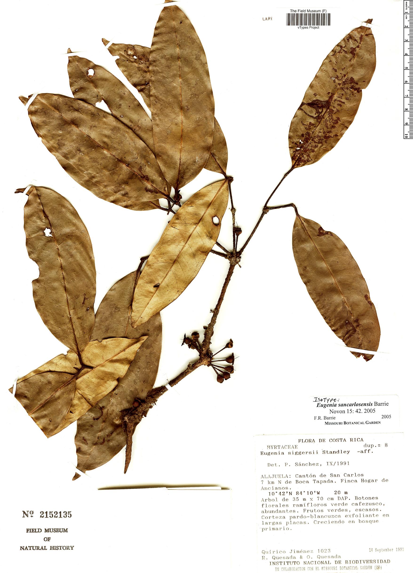 Specimen: Eugenia sancarlosensis