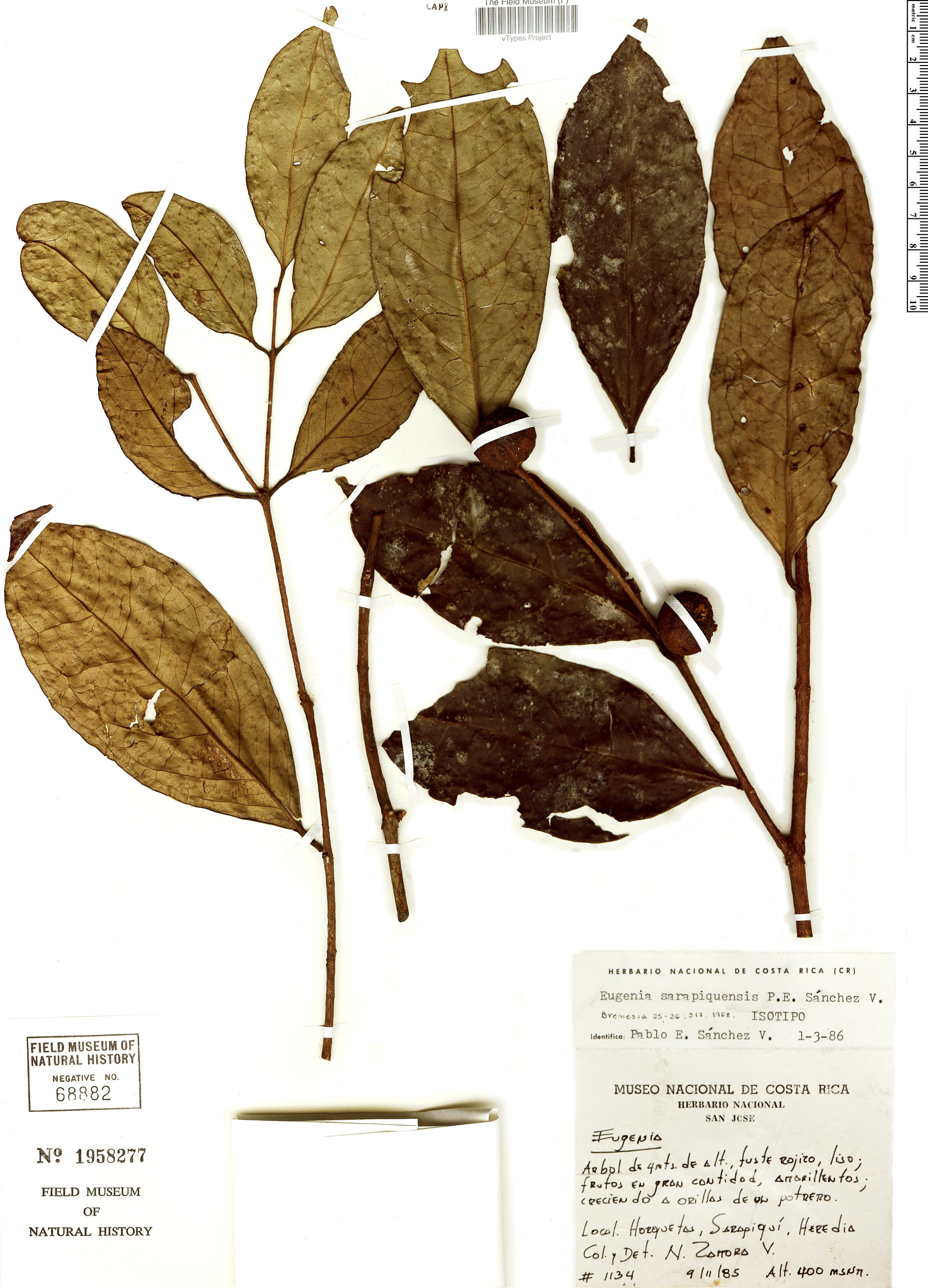 Specimen: Eugenia sarapiquensis