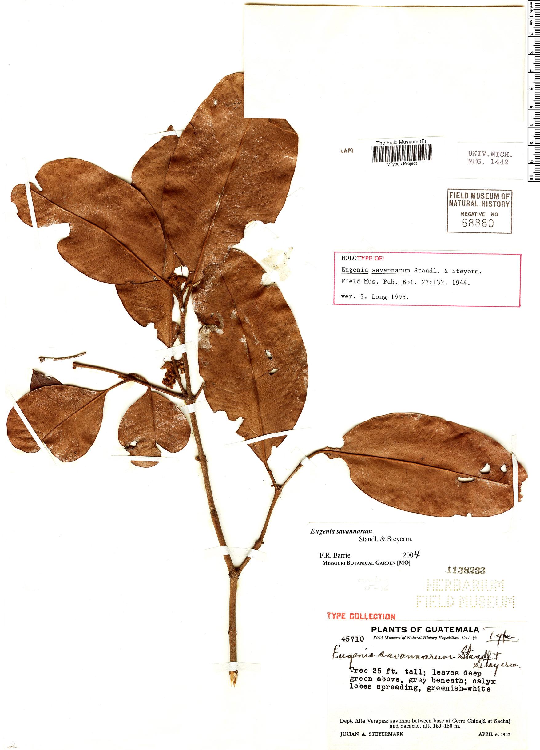 Specimen: Eugenia savannarum