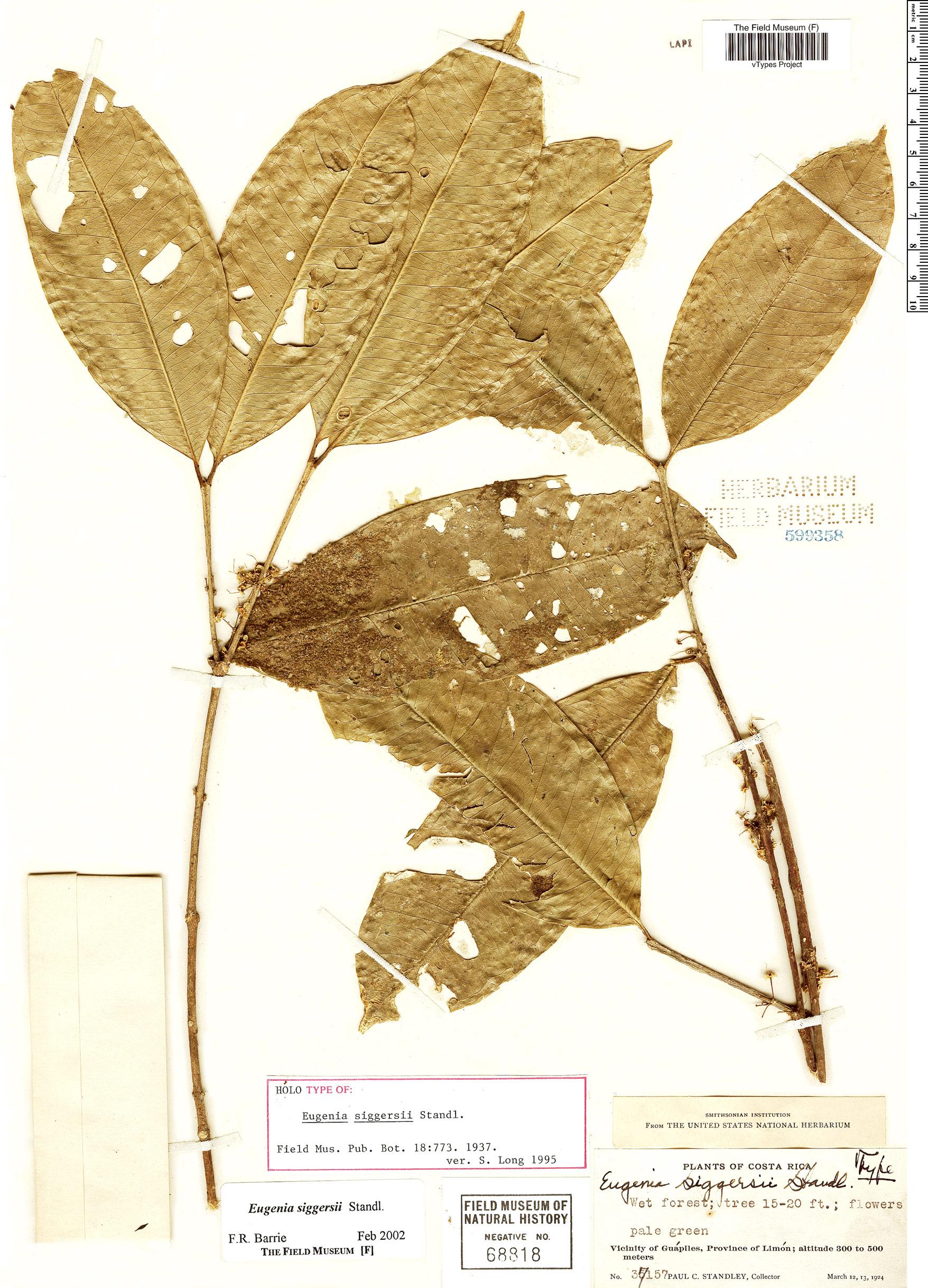 Specimen: Eugenia siggersii