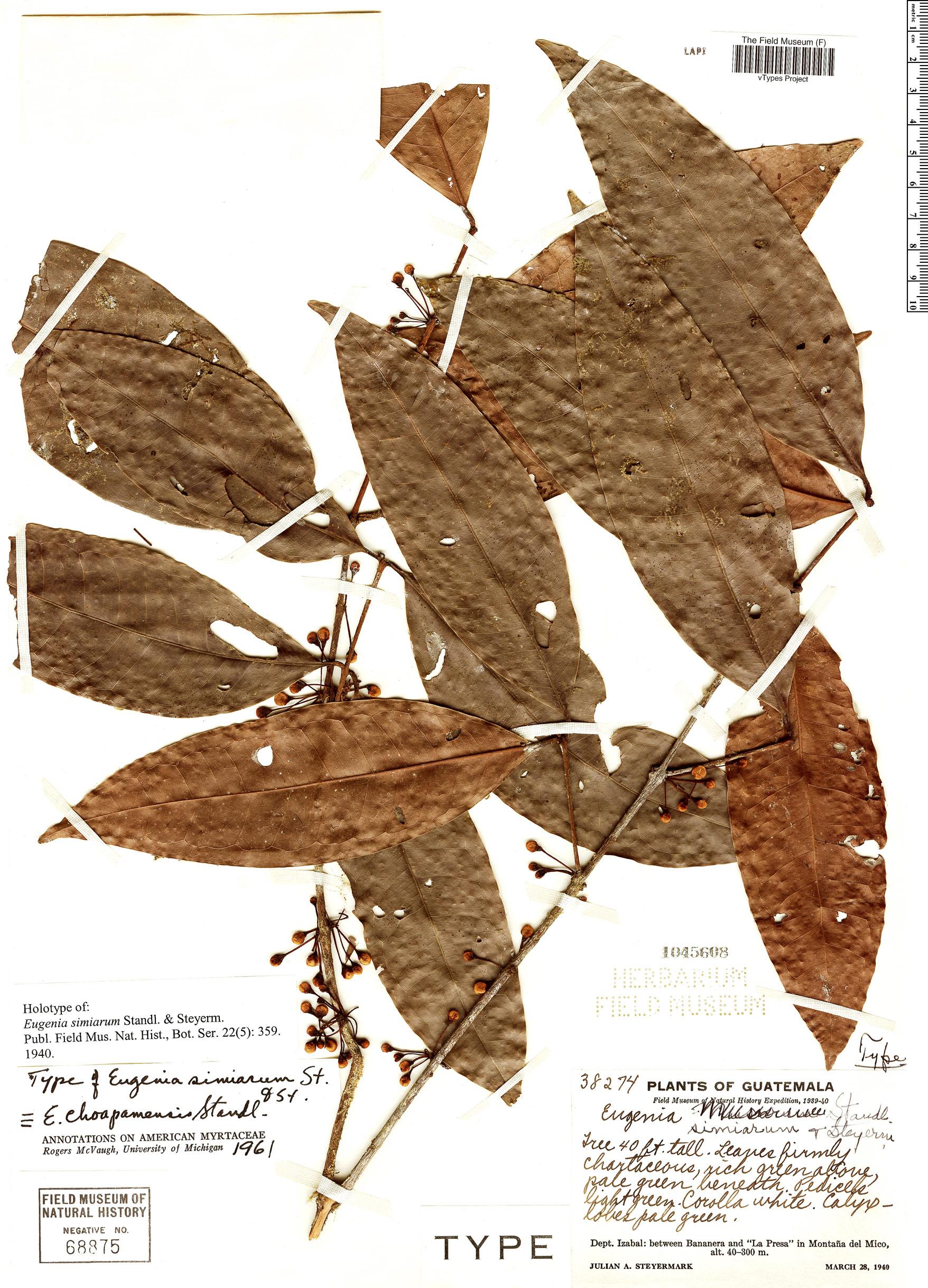 Specimen: Eugenia simiarum