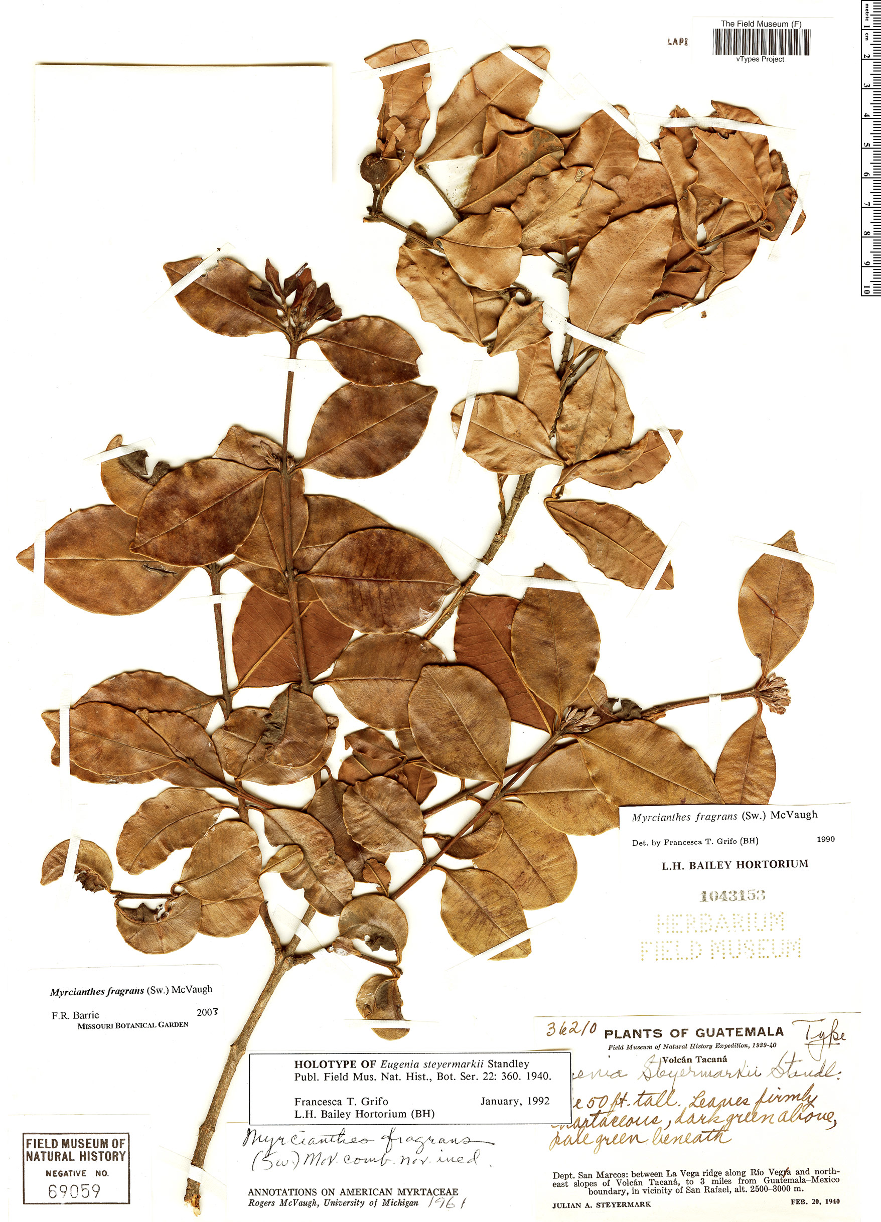 Specimen: Eugenia steyermarkii