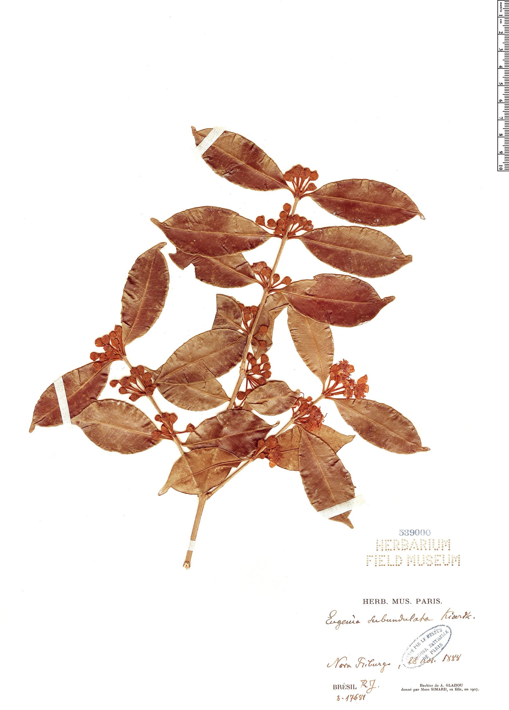 Specimen: Eugenia subundulata