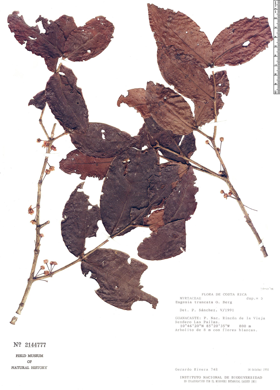 Specimen: Eugenia truncata