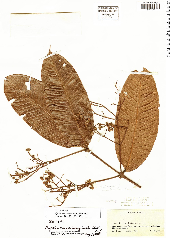 Specimen: Myrcia crassimarginata