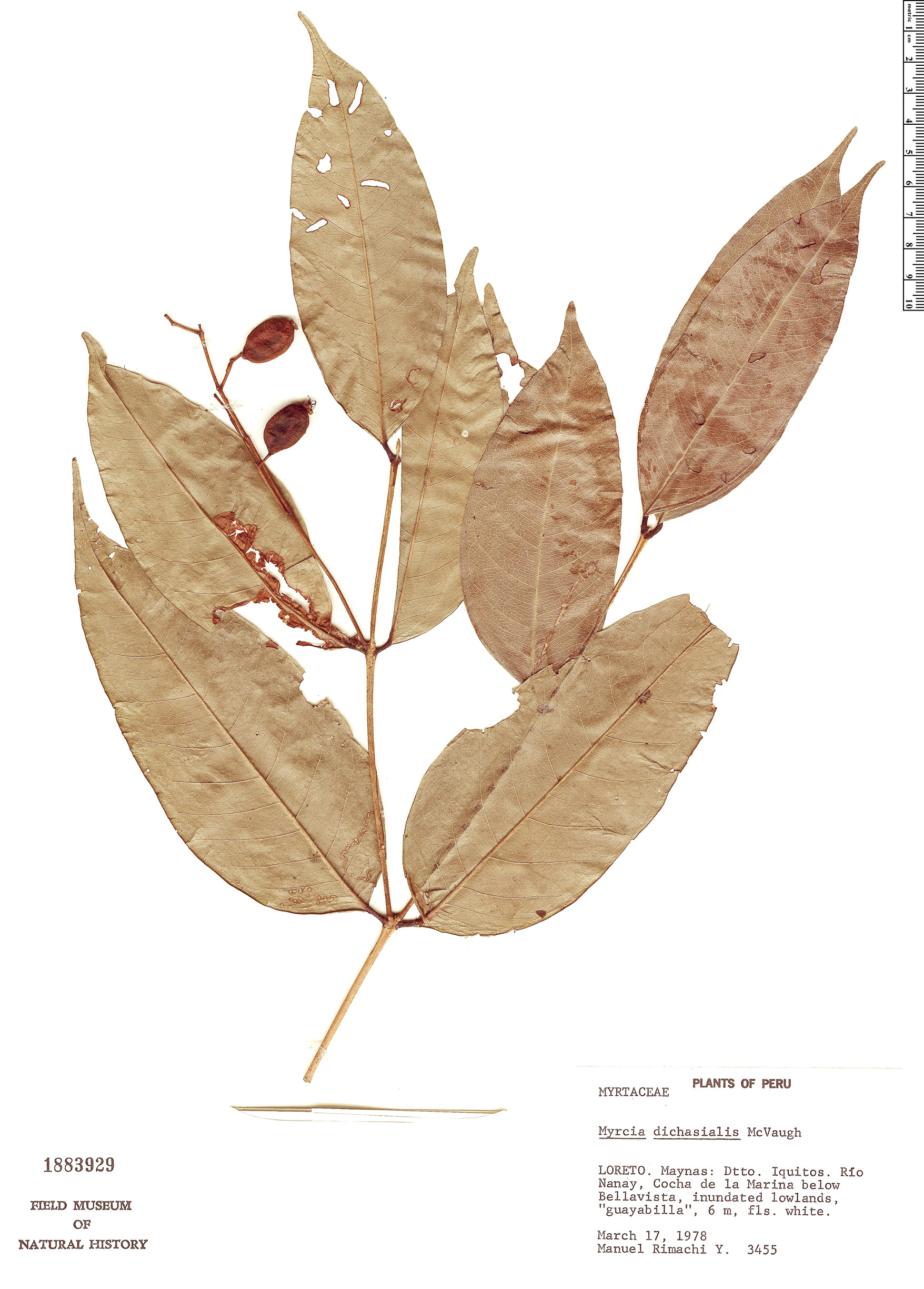 Specimen: Myrcia dichasialis