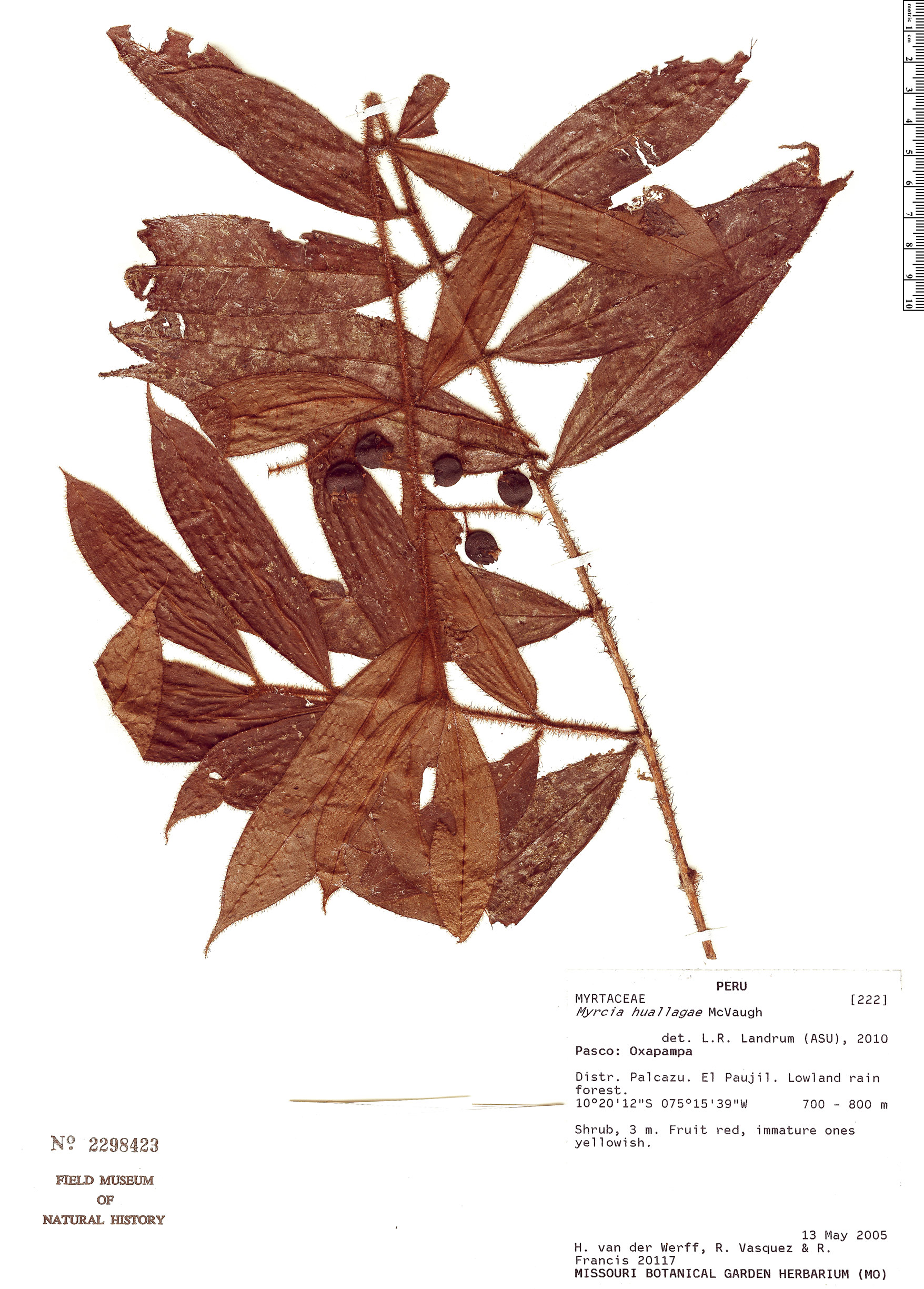 Specimen: Myrcia huallagae