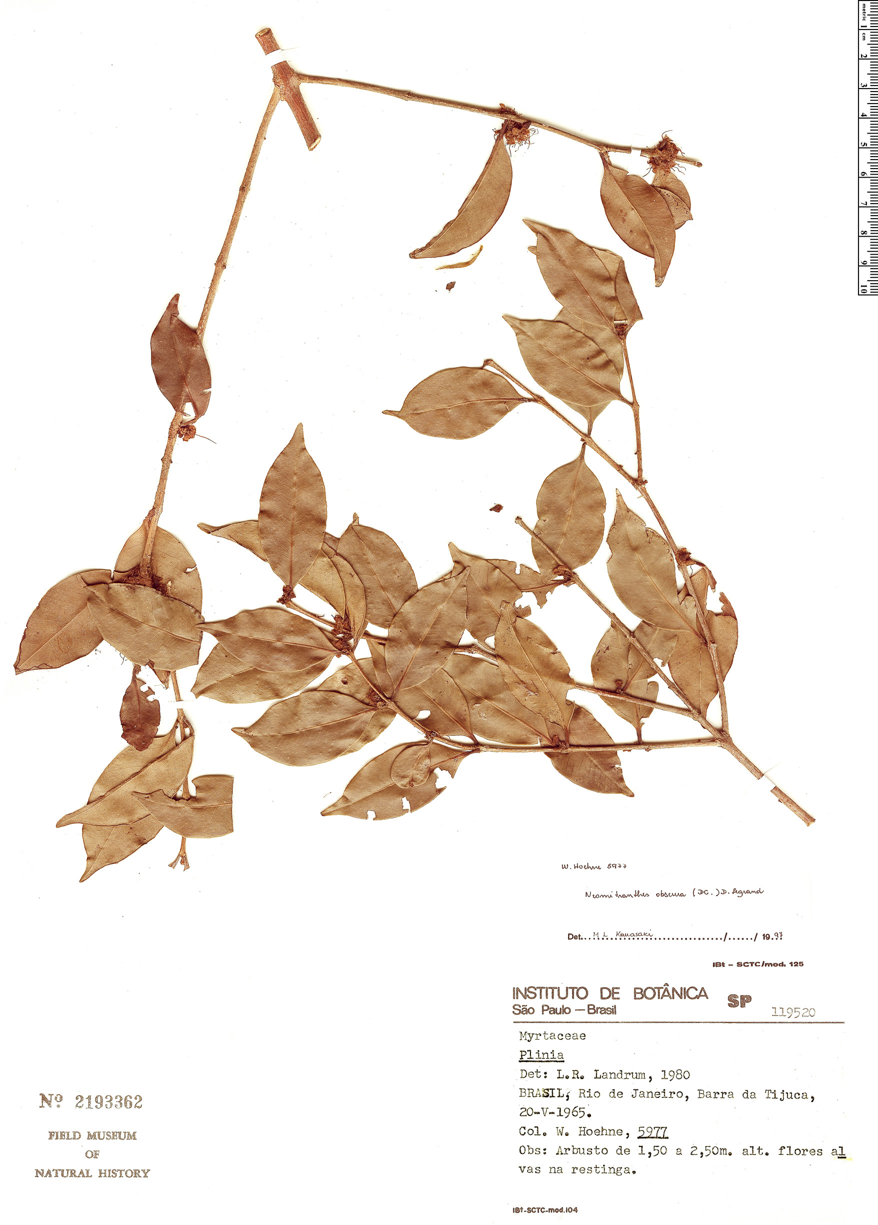 Specimen: Neomitranthes obscura