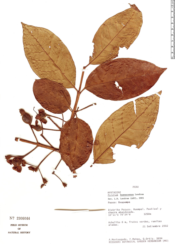 Specimen: Psidium huanucoense