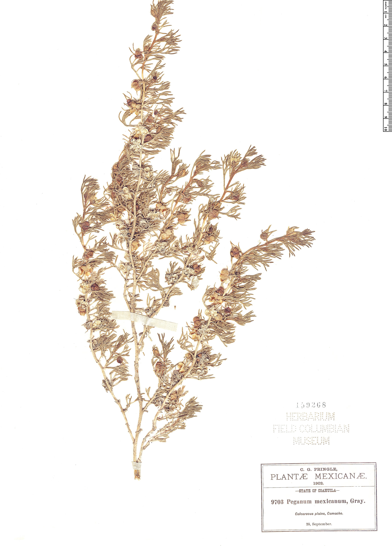 Specimen: Peganum mexicanum
