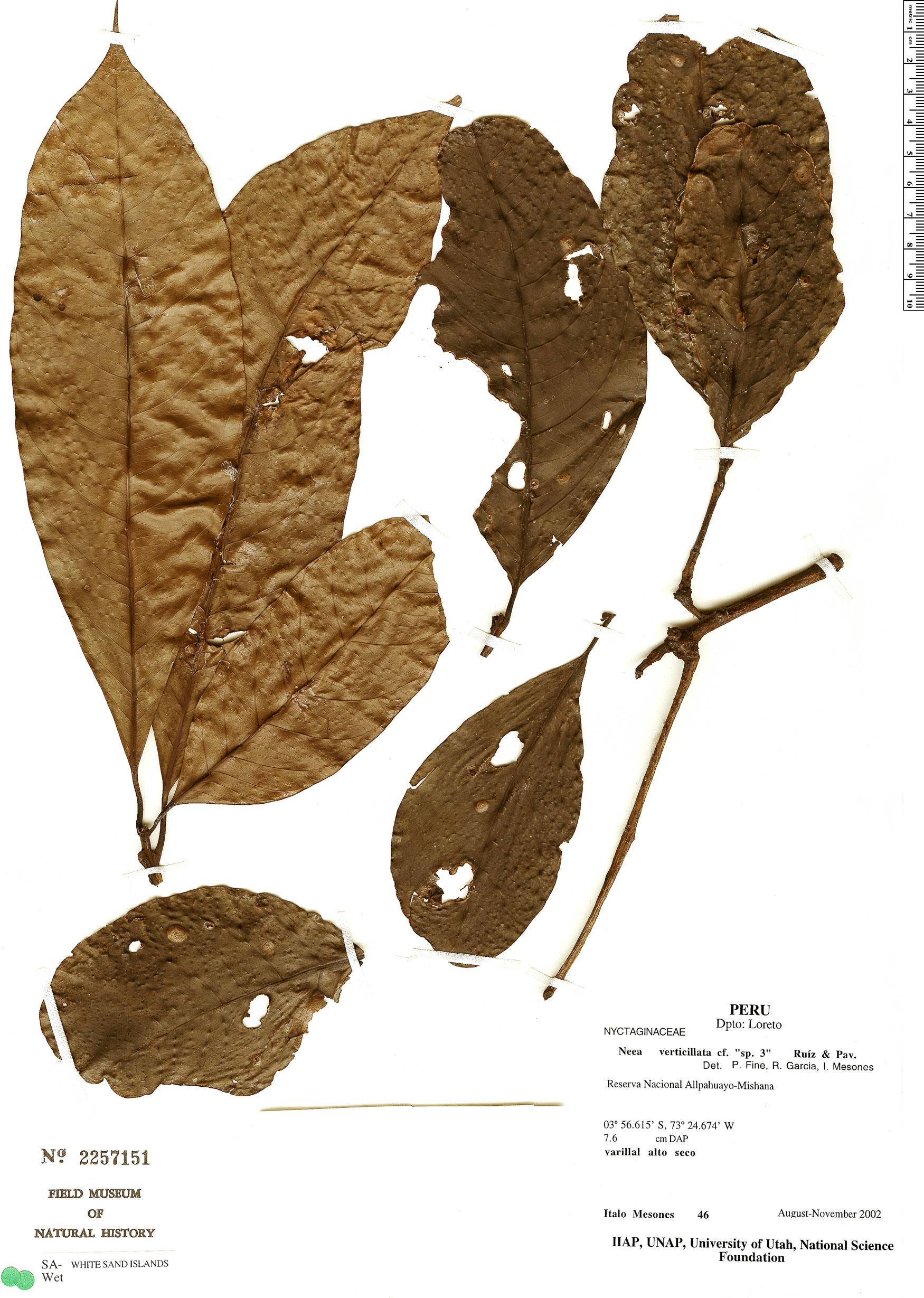 Specimen: Neea verticillata