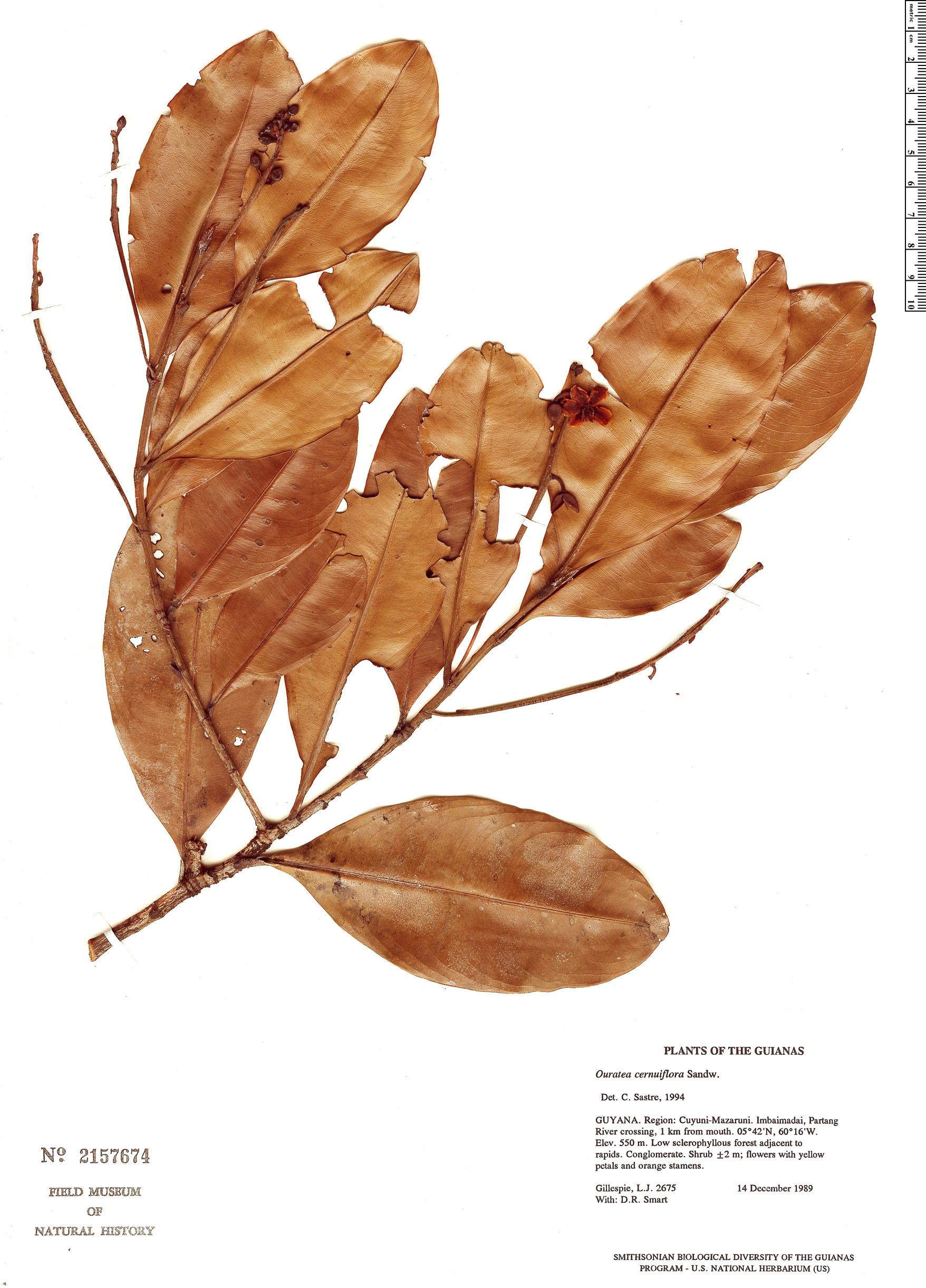Specimen: Ouratea cernuiflora