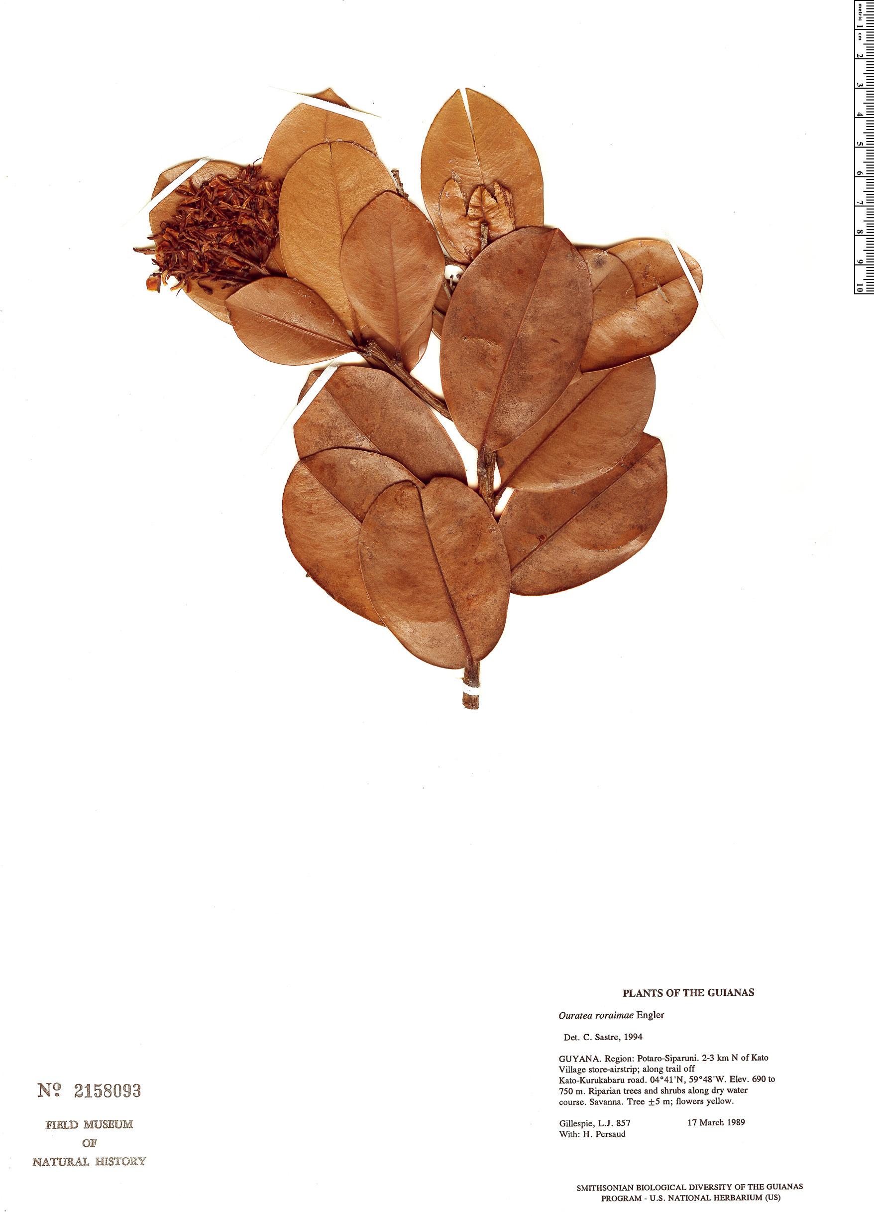 Specimen: Ouratea roraimae