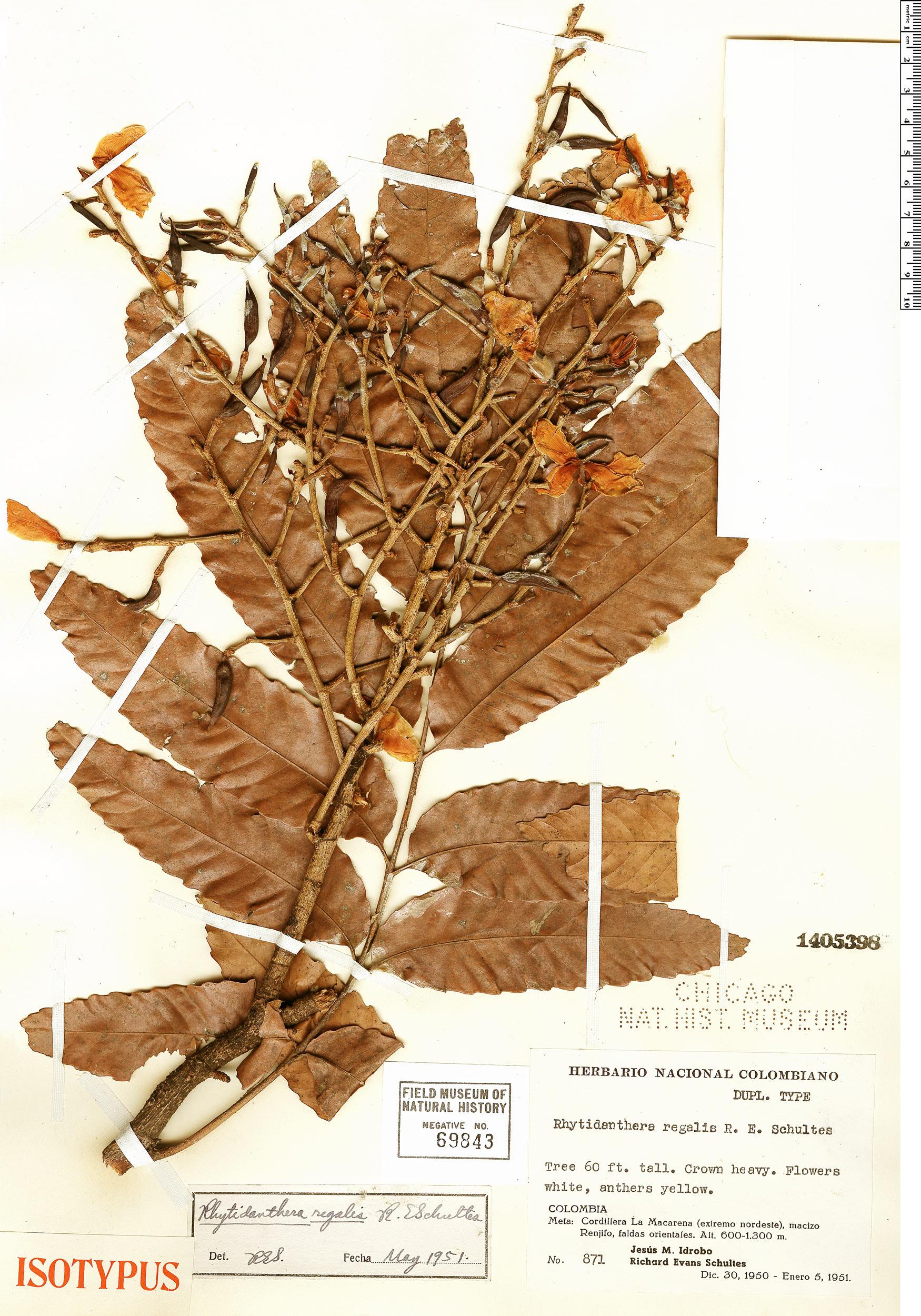 Specimen: Rhytidanthera regalis