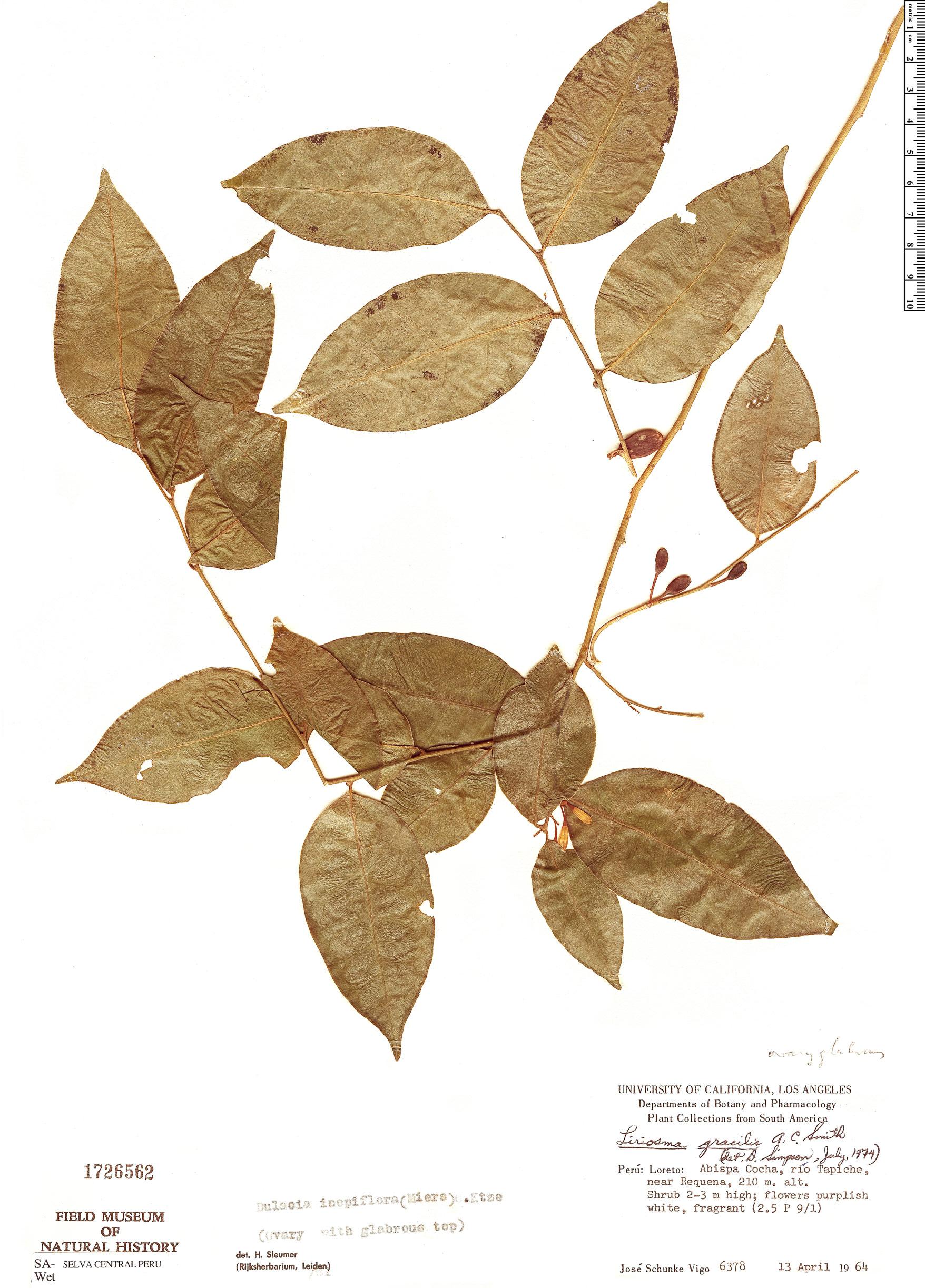 Specimen: Dulacia inopiflora