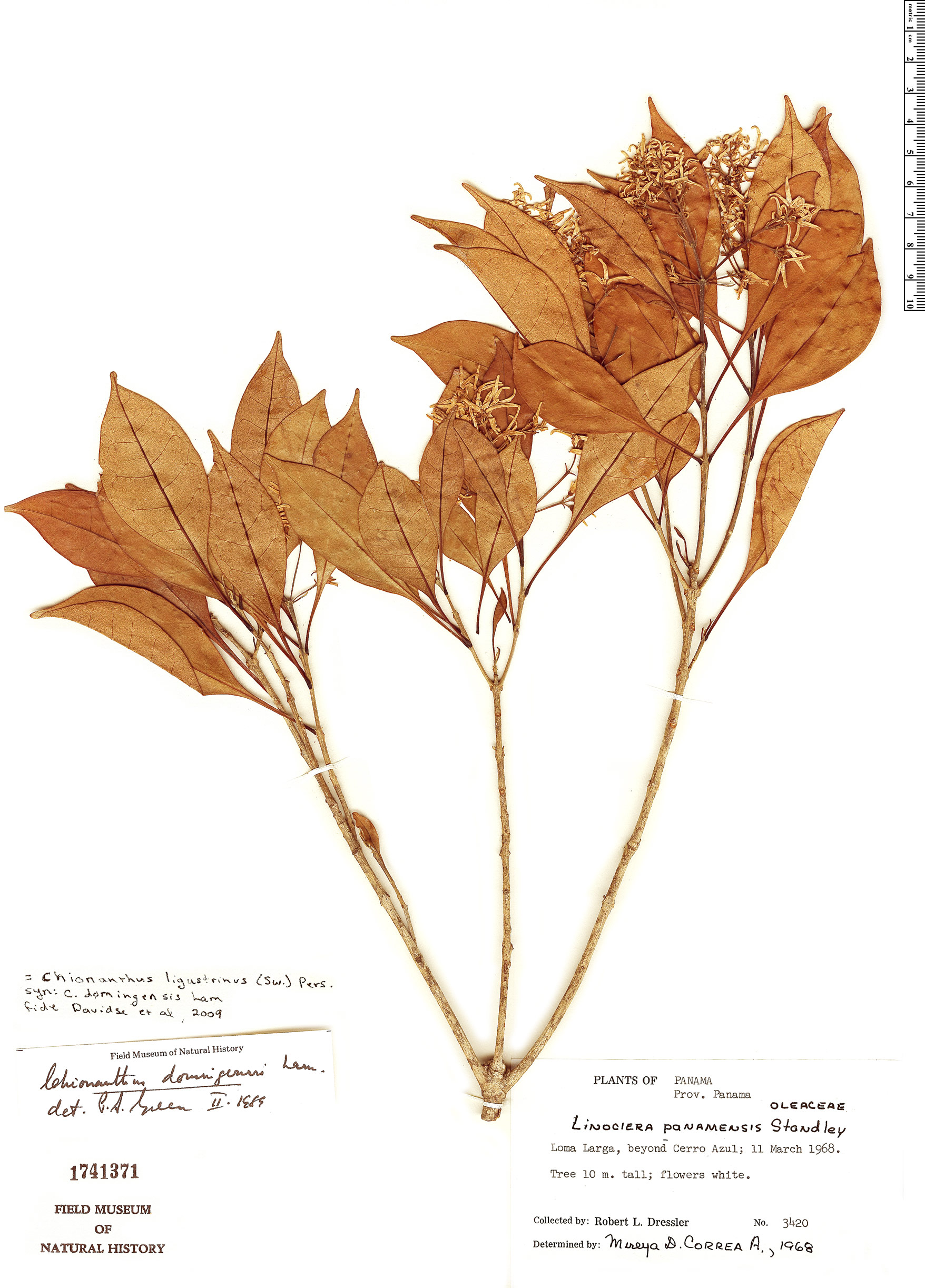 Specimen: Chionanthus panamensis