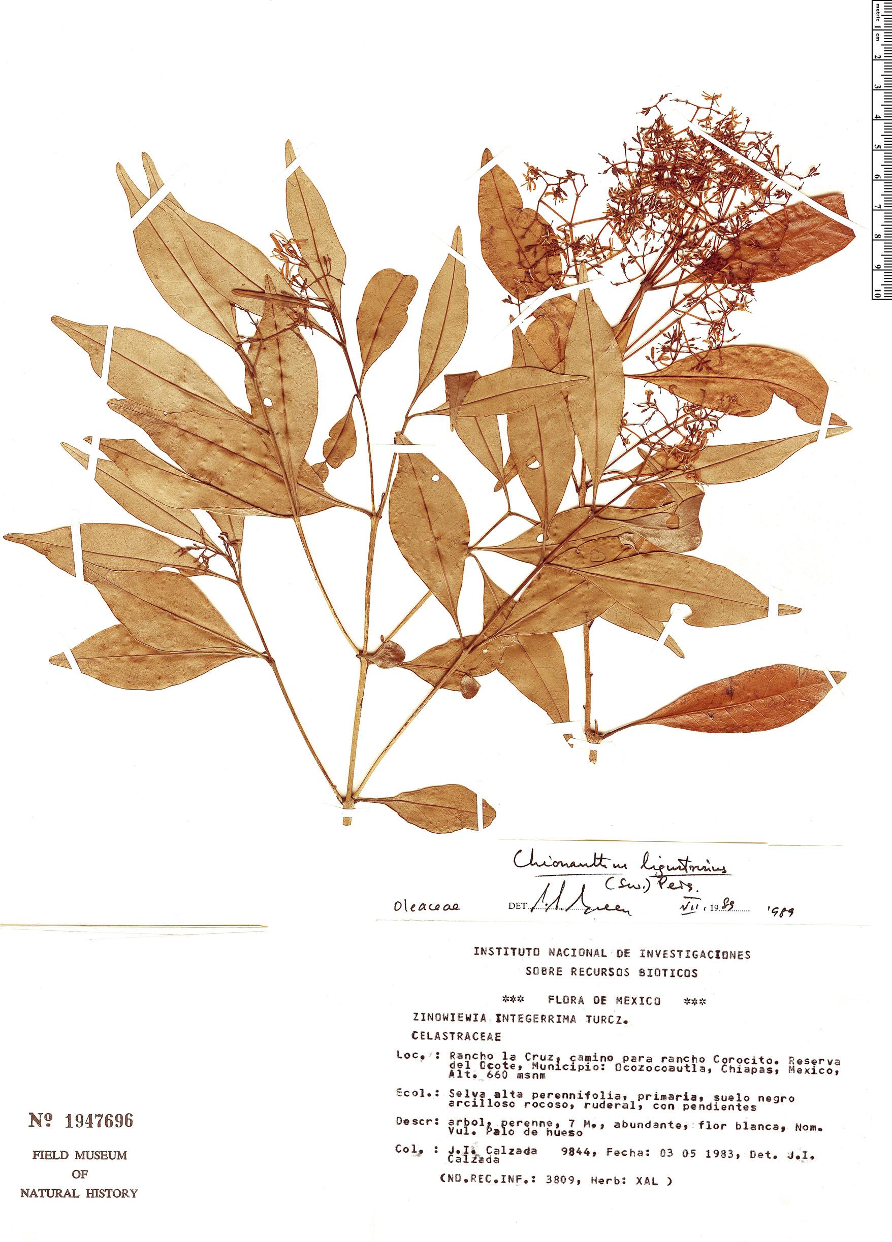 Specimen: Chionanthus ligustrinus