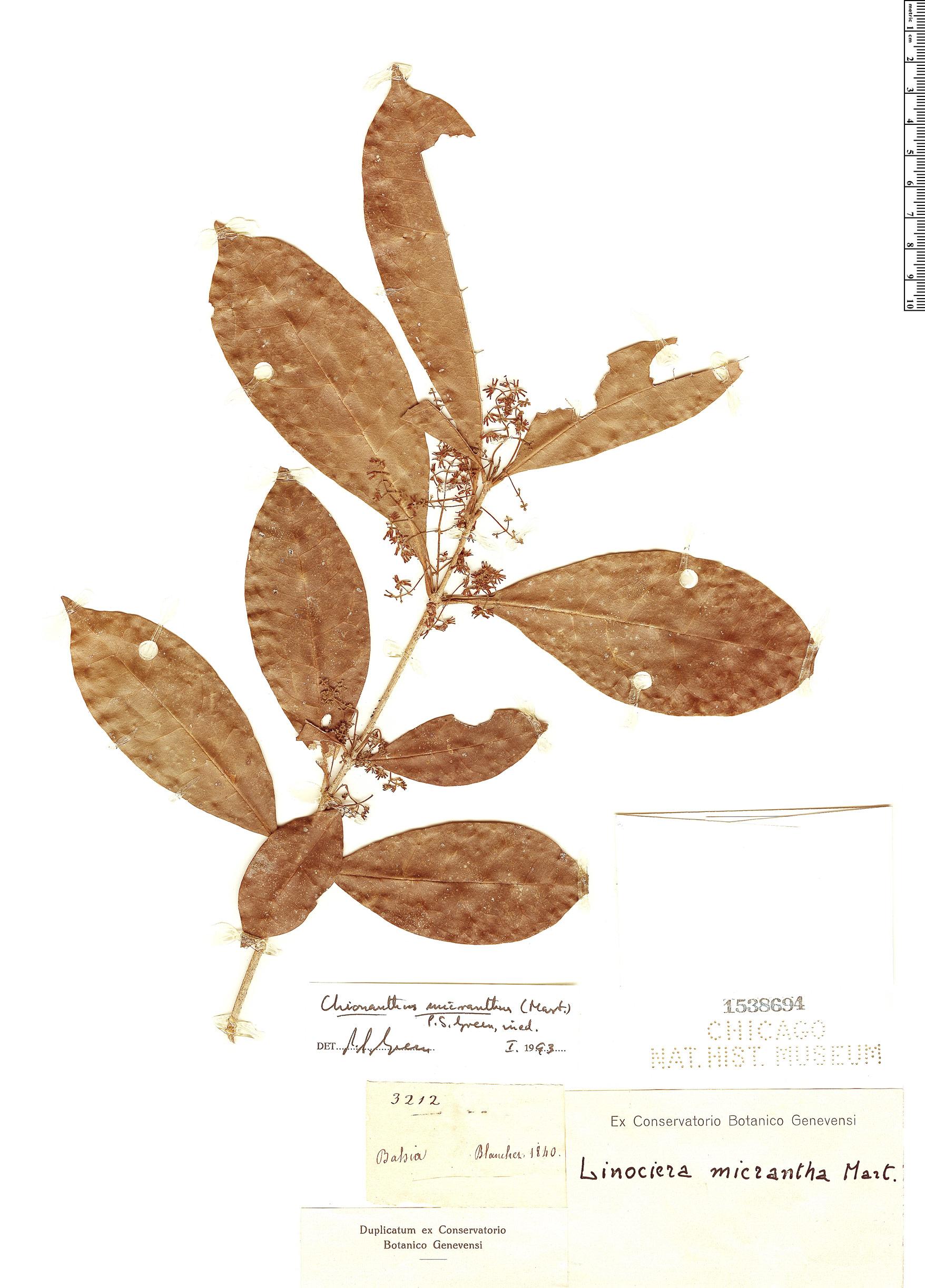 Specimen: Chionanthus micranthus