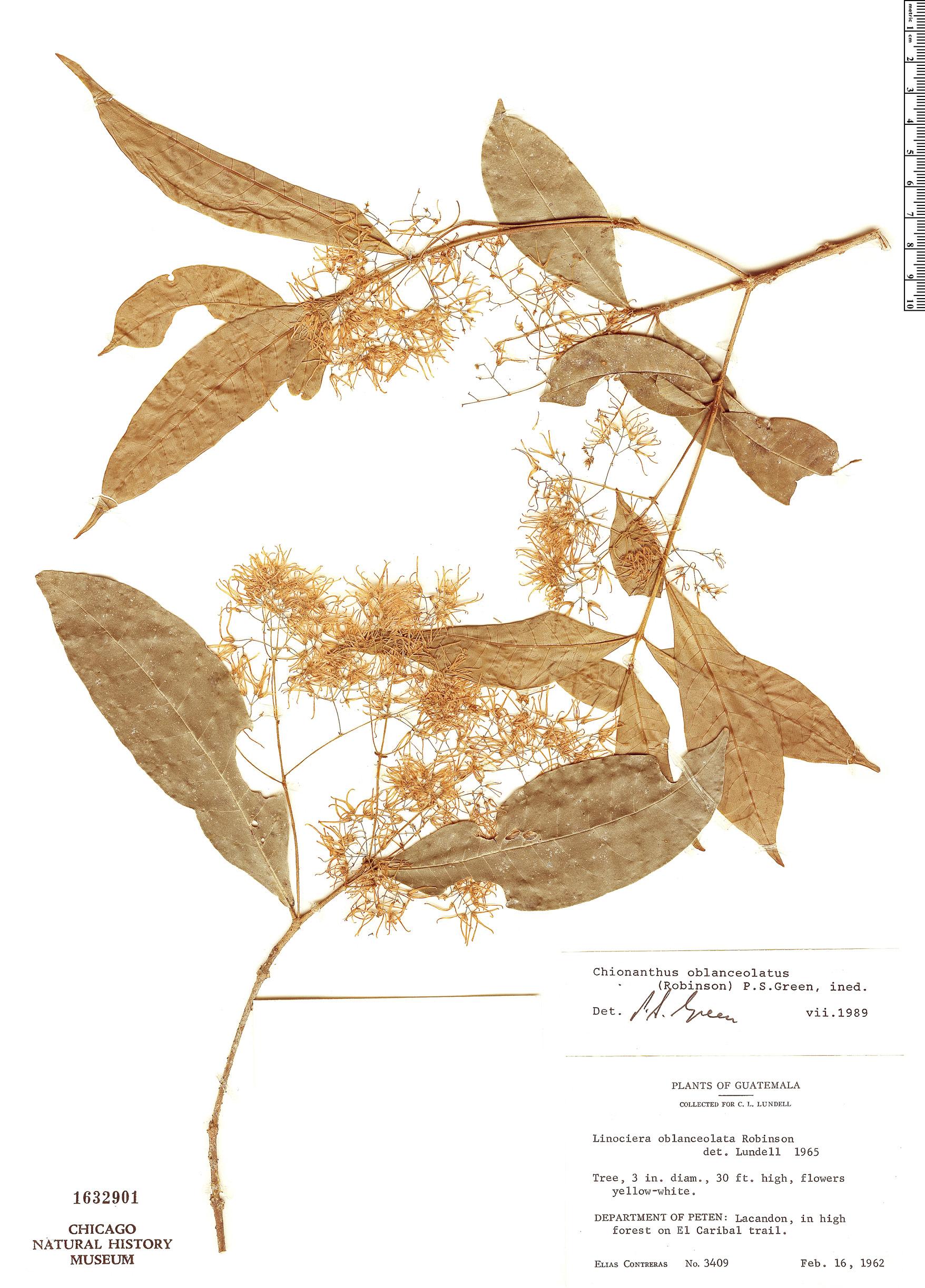 Specimen: Chionanthus oblanceolatus