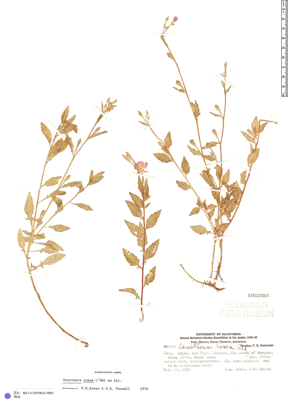 Specimen: Oenothera rosea