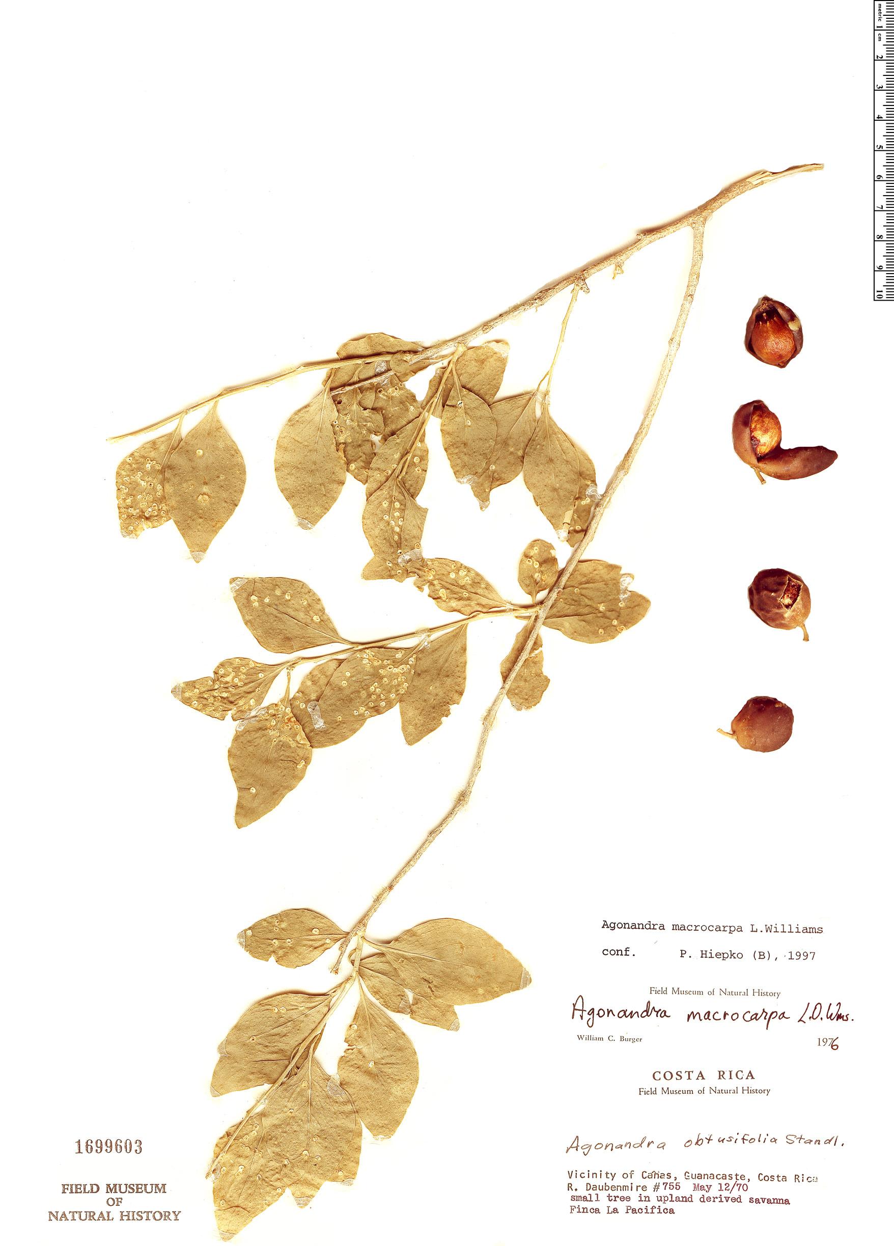 Specimen: Agonandra macrocarpa