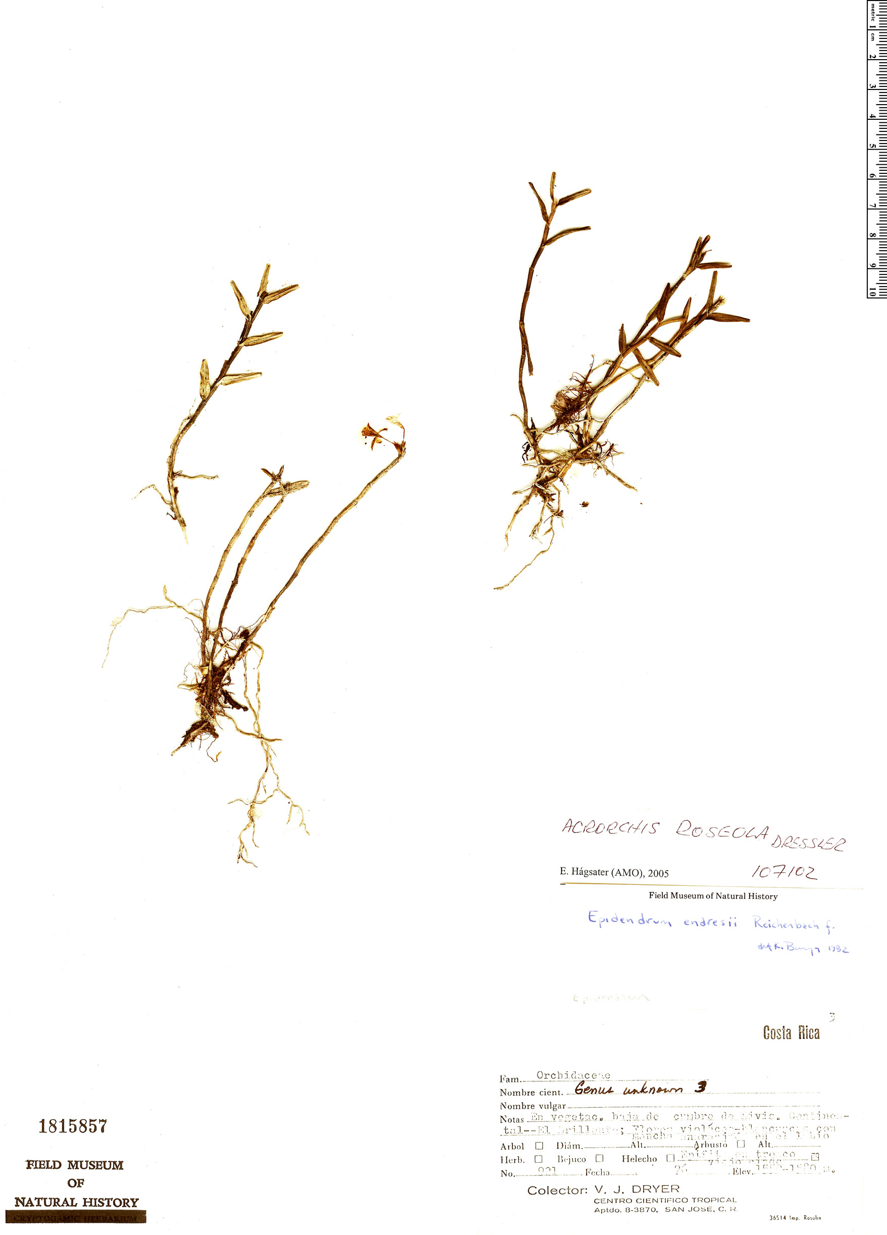 Specimen: Acrorchis roseola