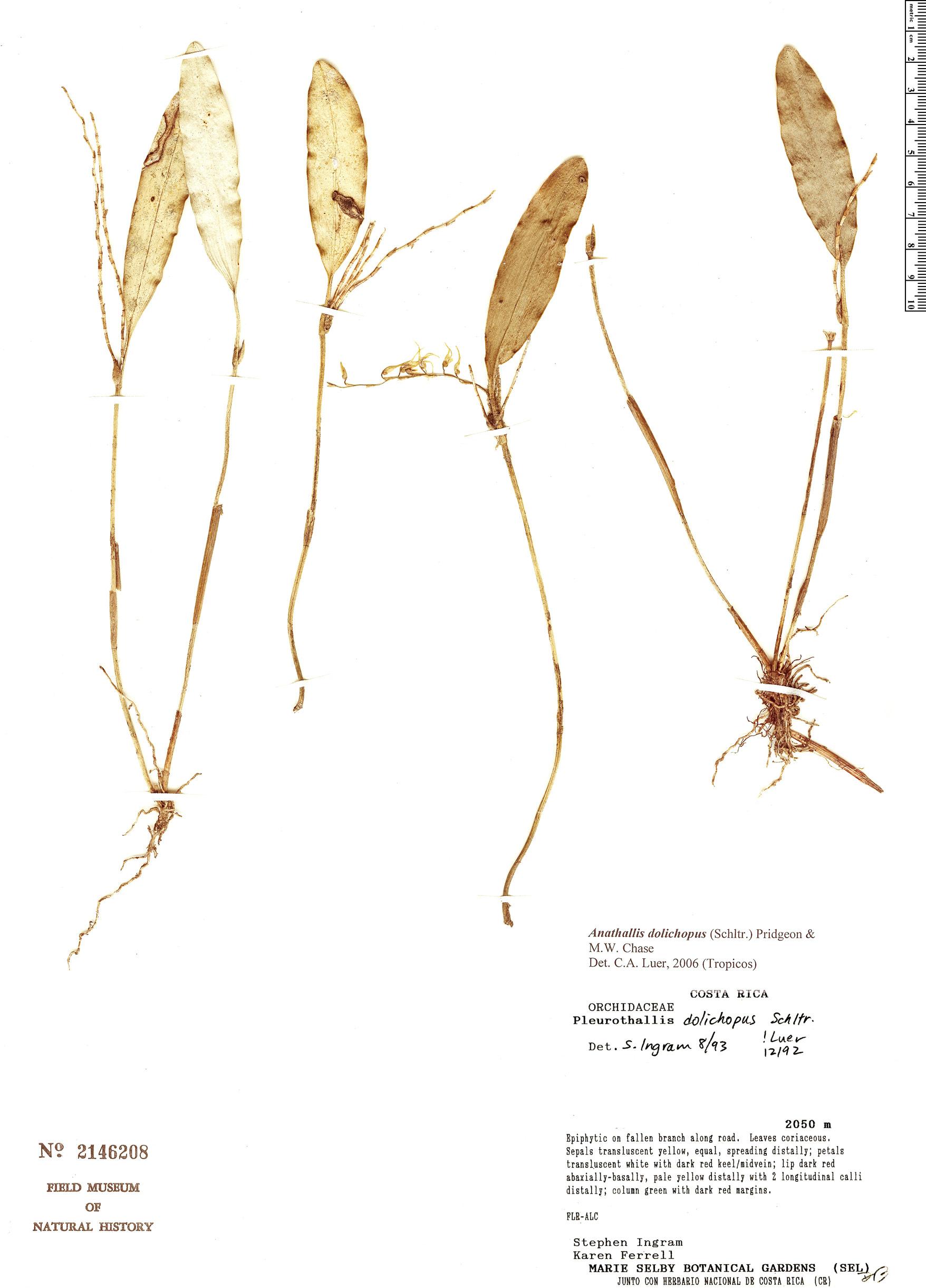 Specimen: Pleurothallis dolichopus