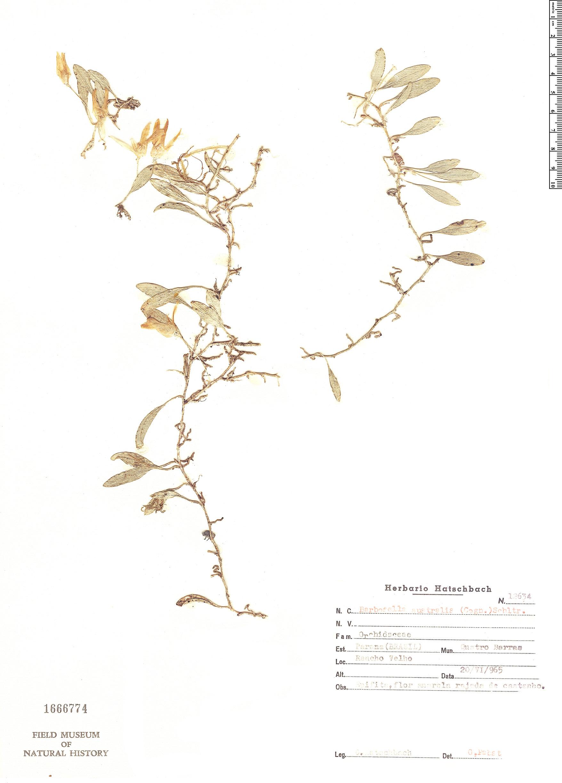 Specimen: Barbosella australis