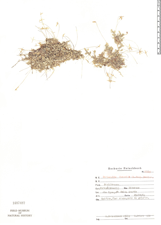 Specimen: Barbosella dusenii