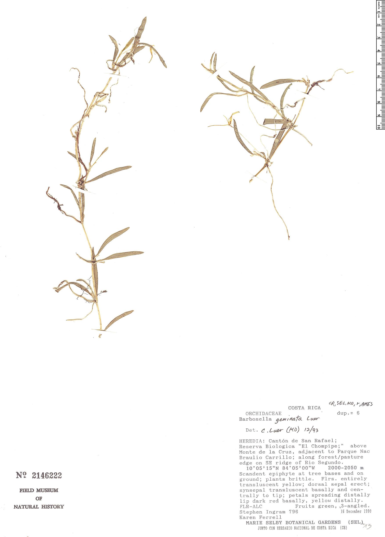 Specimen: Barbosella geminata