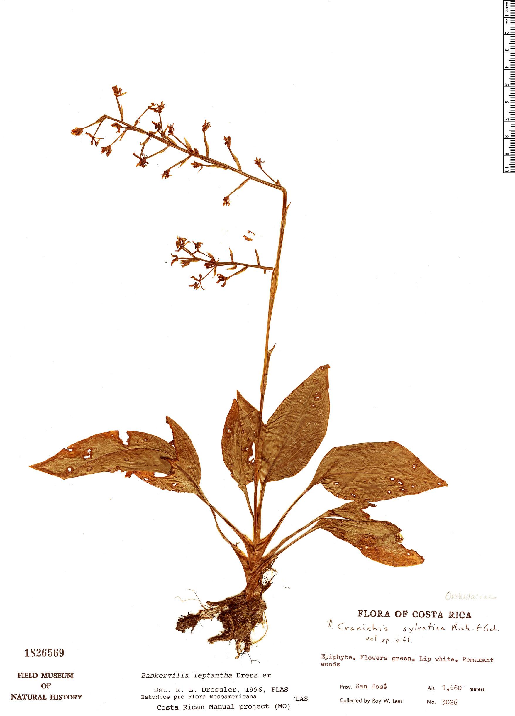 Espécimen: Baskervilla leptantha